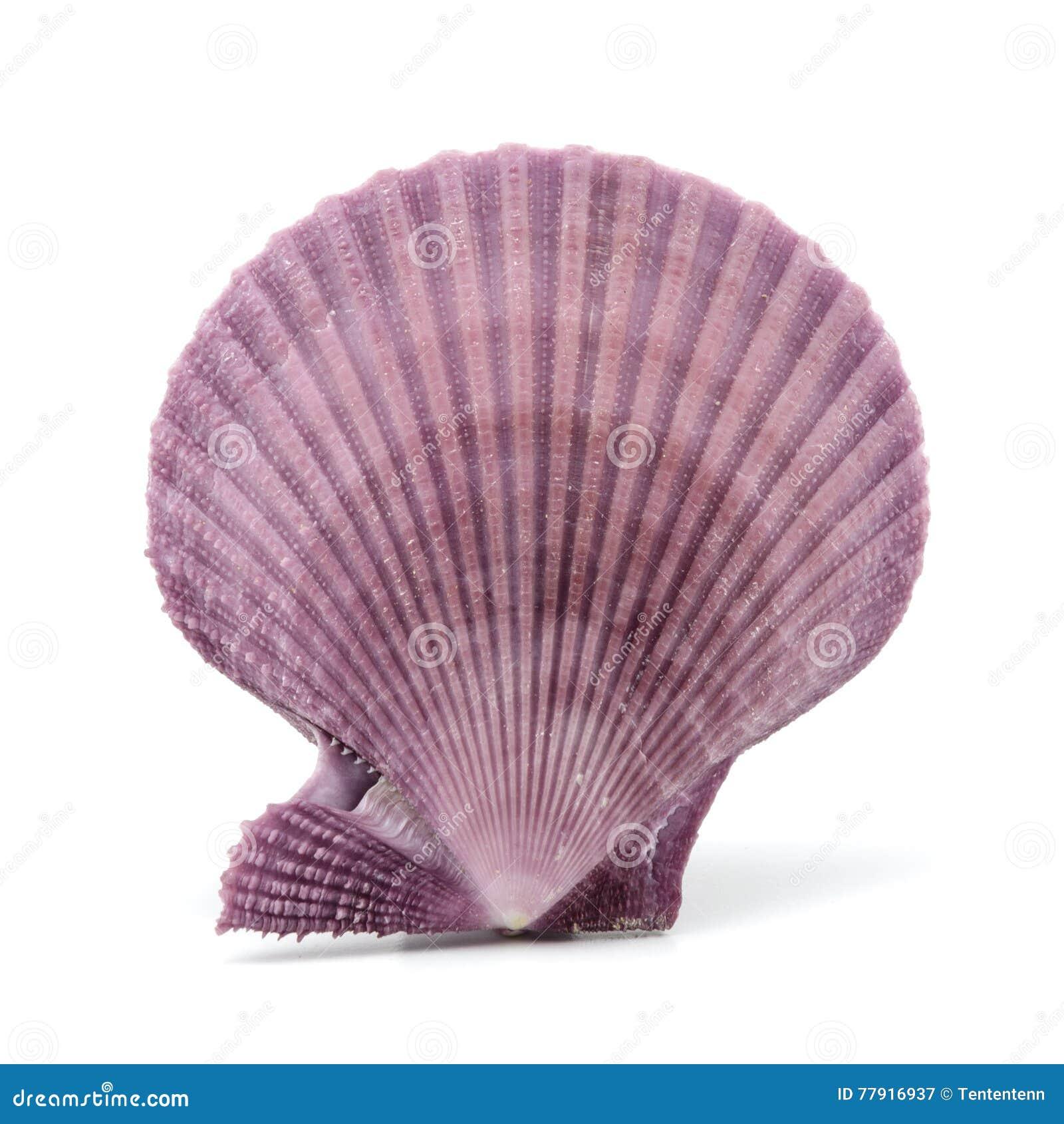 Seashell en el fondo blanco