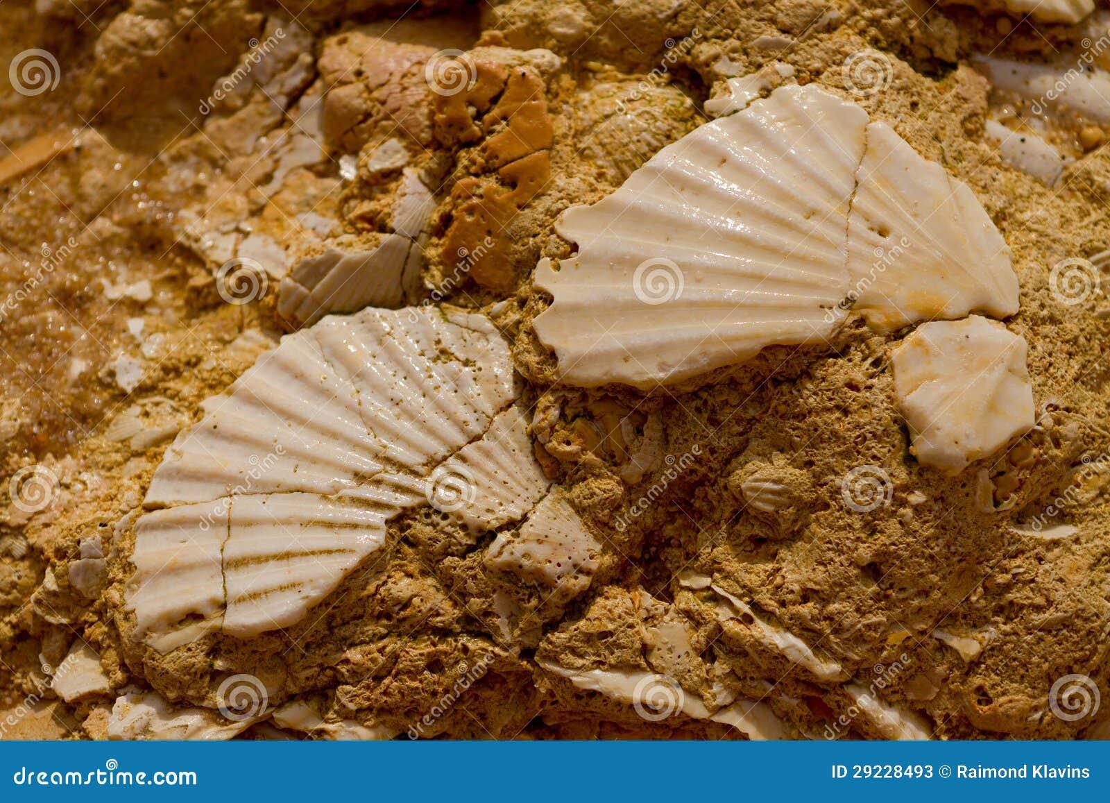 Download Seashell na pedra imagem de stock. Imagem de fundo, curso - 29228493