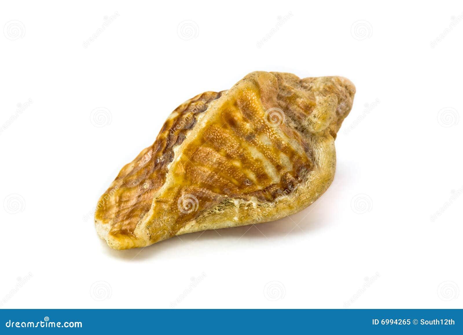 Seashell no branco