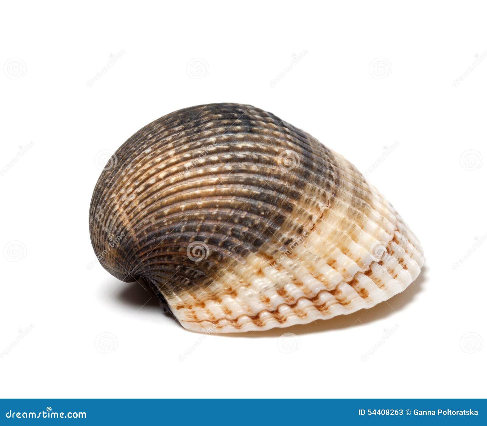 Seashell no fundo branco