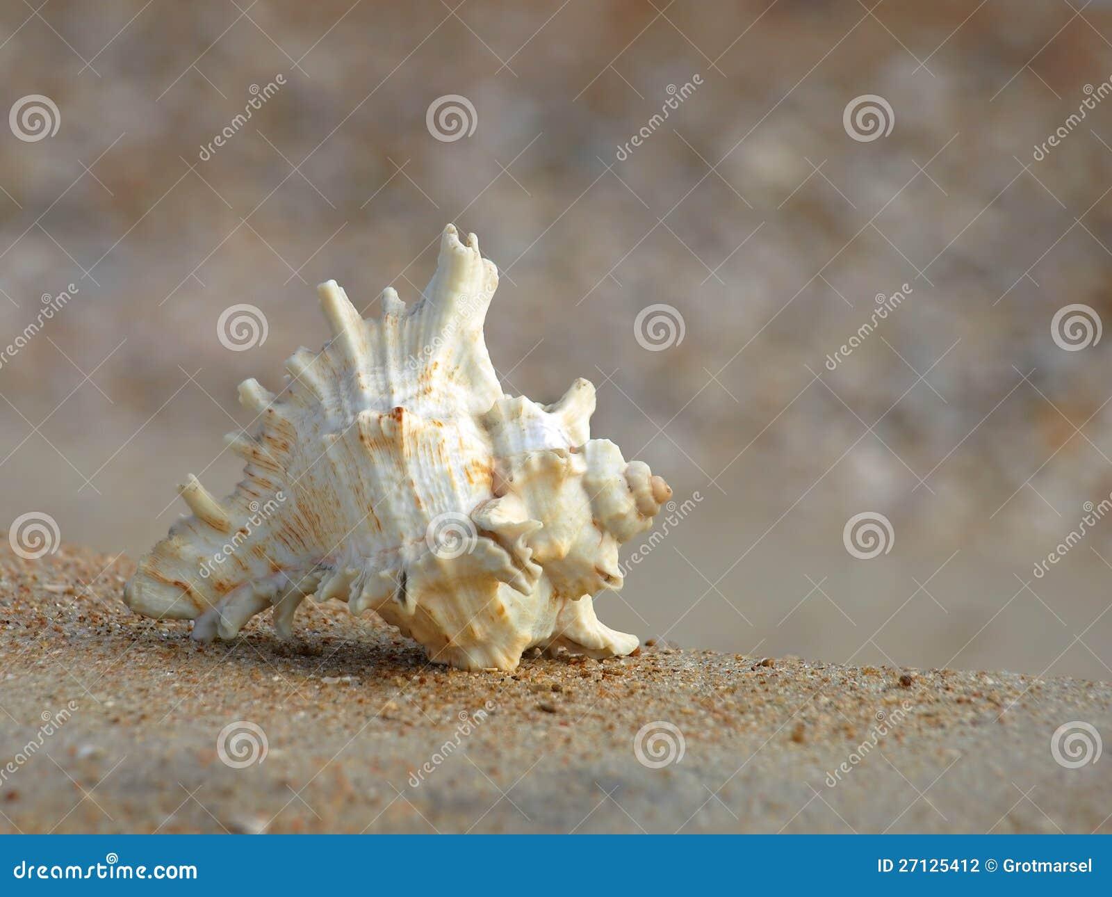 Seashell su una sabbia. Primo piano.