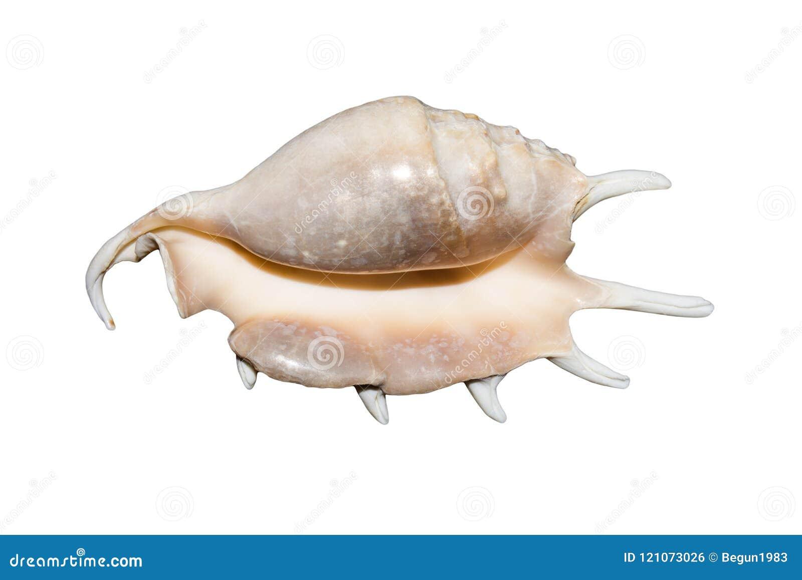 Seashell sur le fond blanc La coquille exotique de mer avec des transitoires