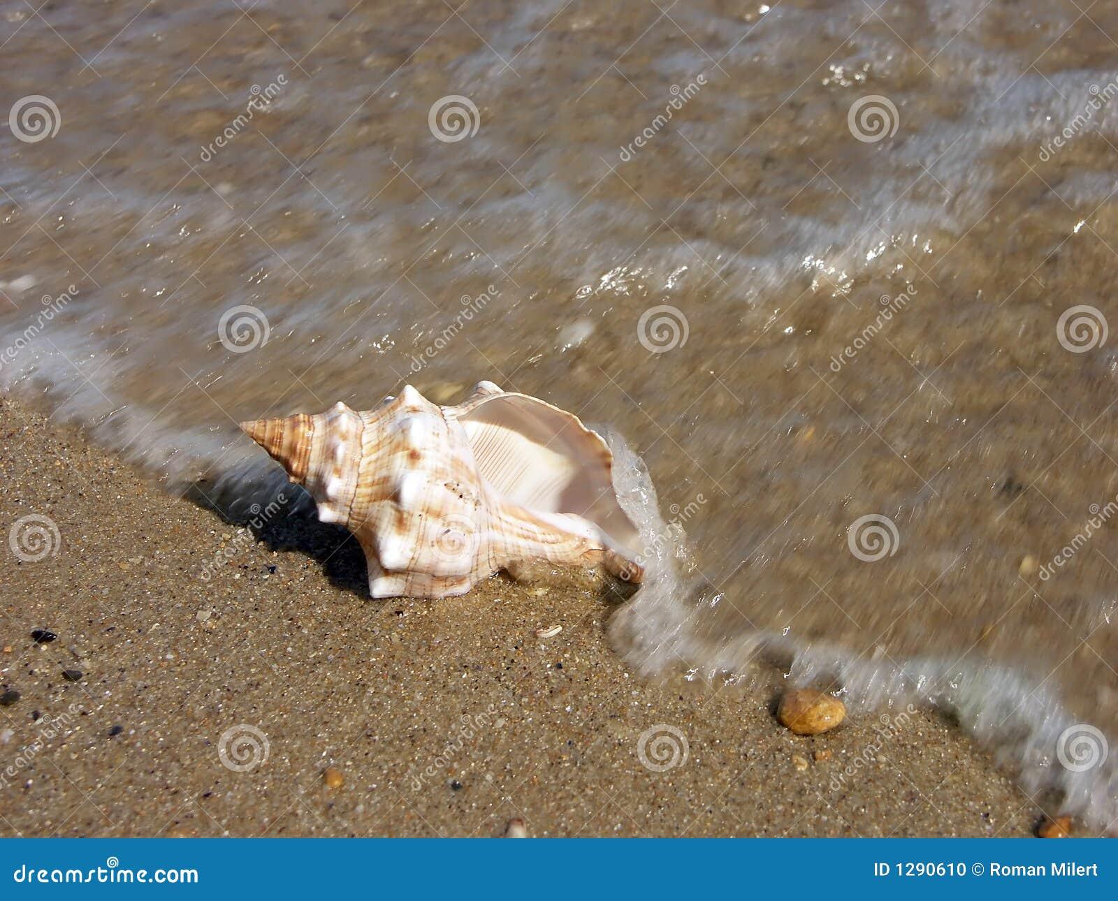 Seashell washed ashore