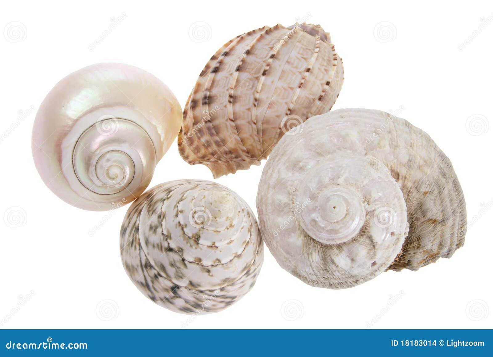 Seashells de conque