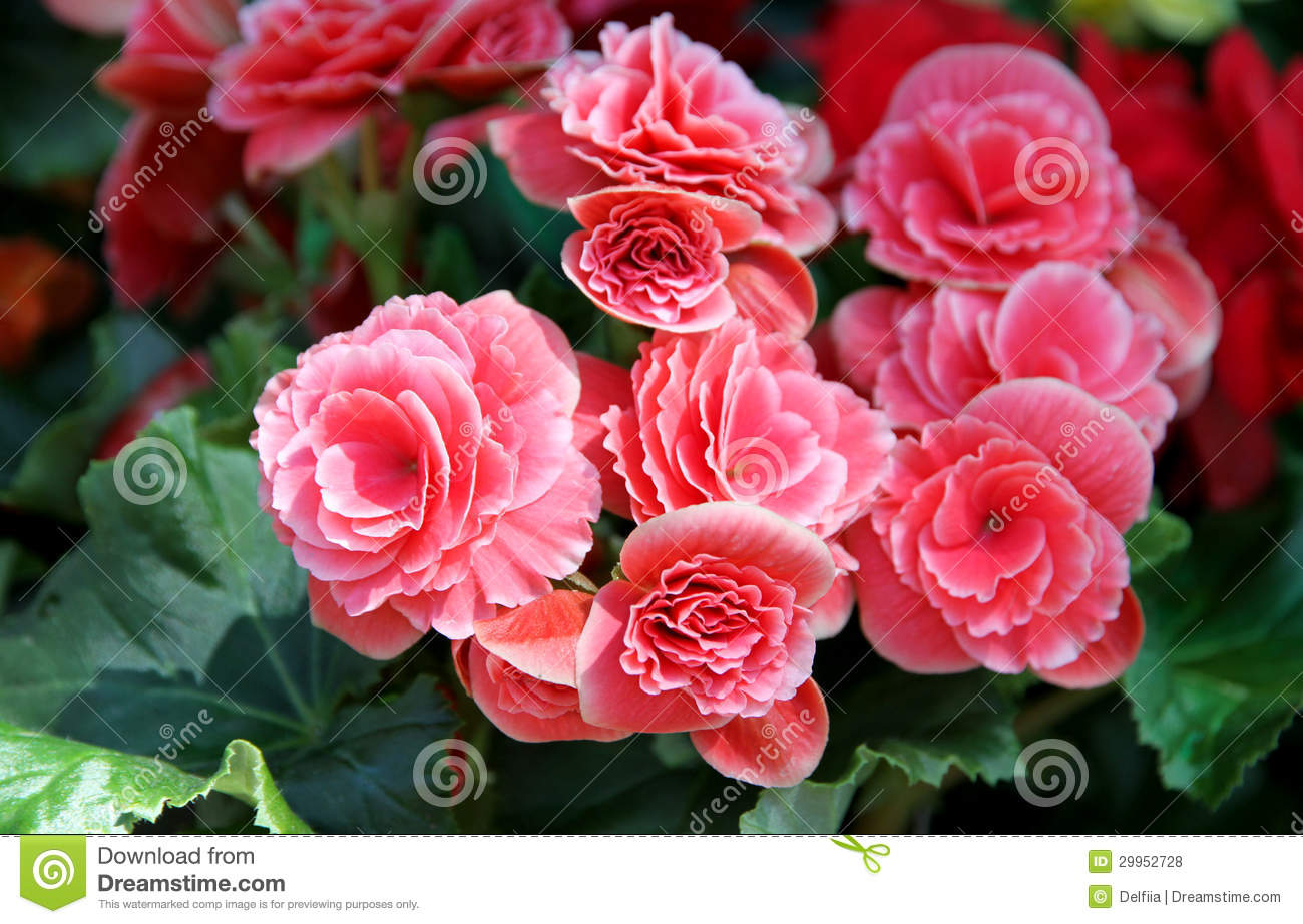 Pink Flowers Of The Begonia Stock Photo Image Of Flowering Leaves
