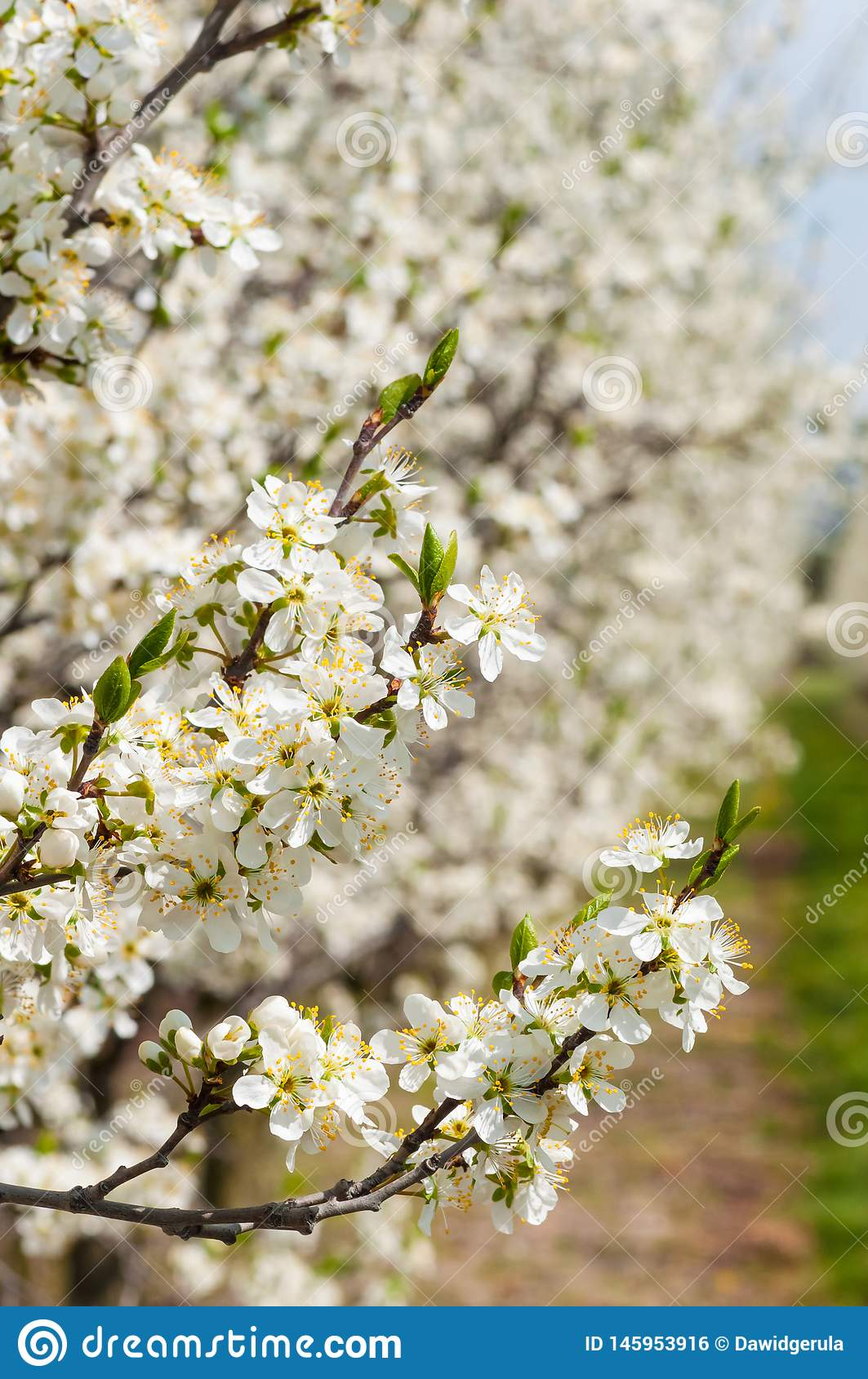 Seasonal spring white plum flowers blossoming. Blossom of plum orchard in Poland