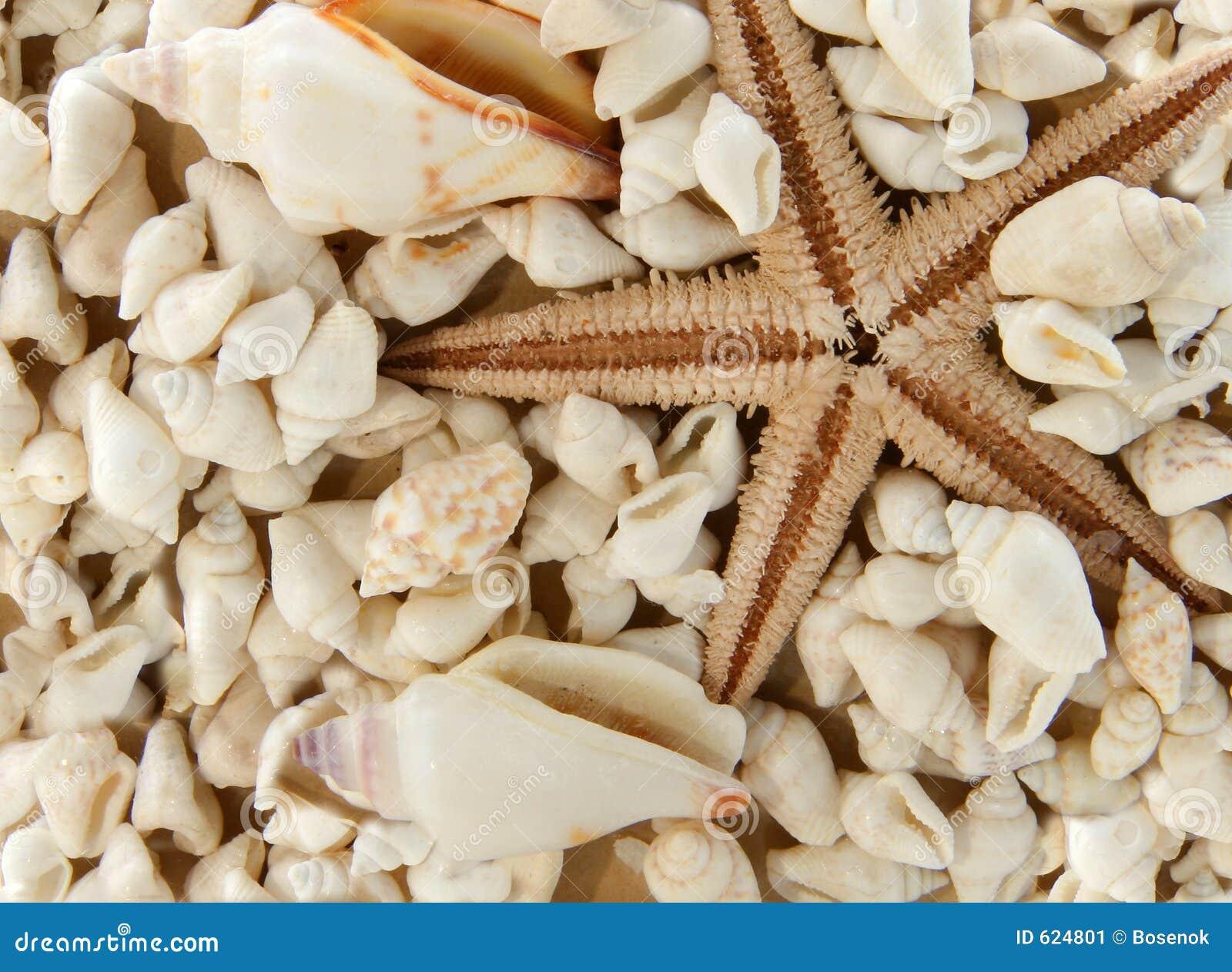 Seastar en shells