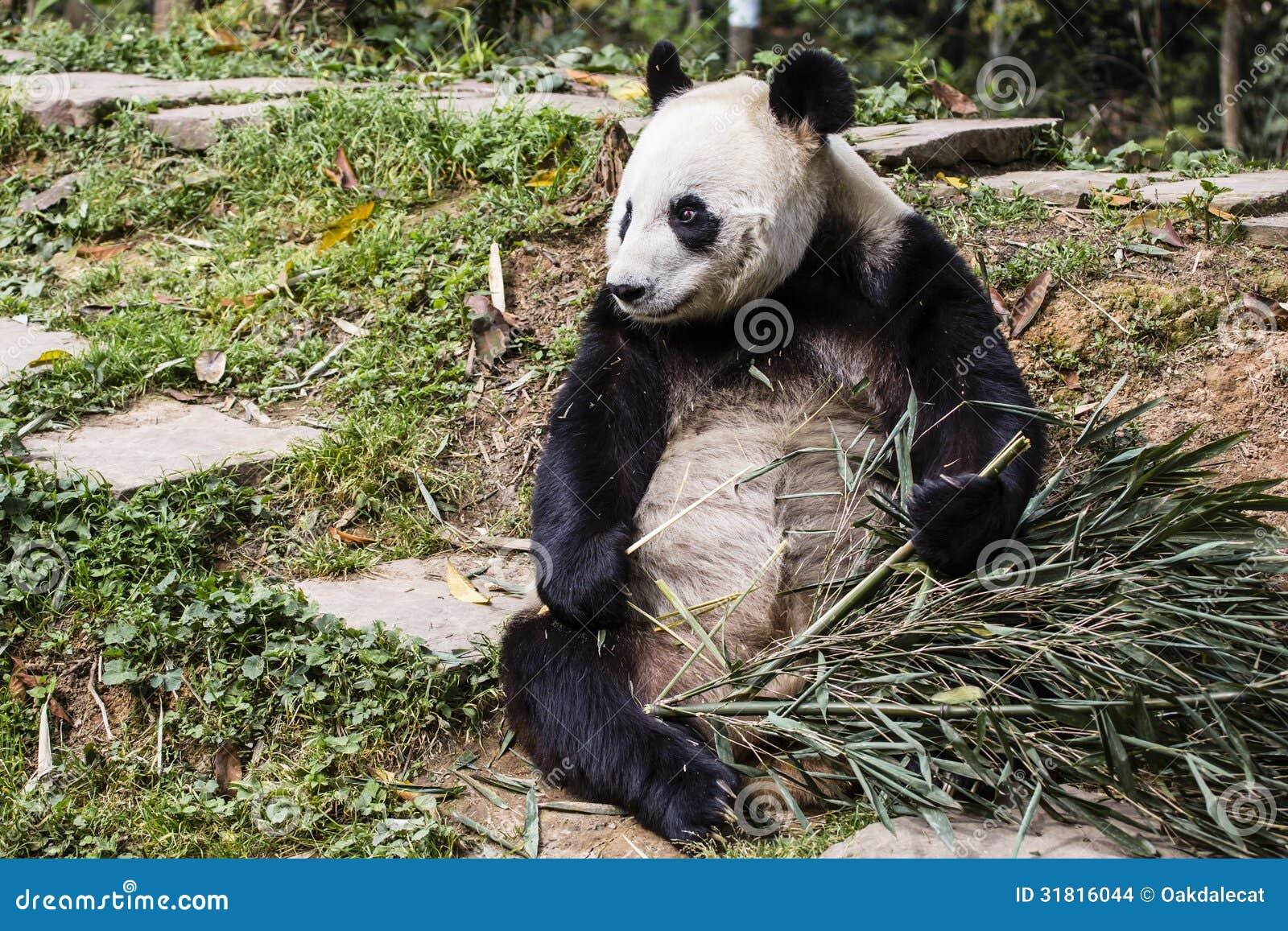 Big Panda, or Bamboo Bear: a description of where interesting facts live 31