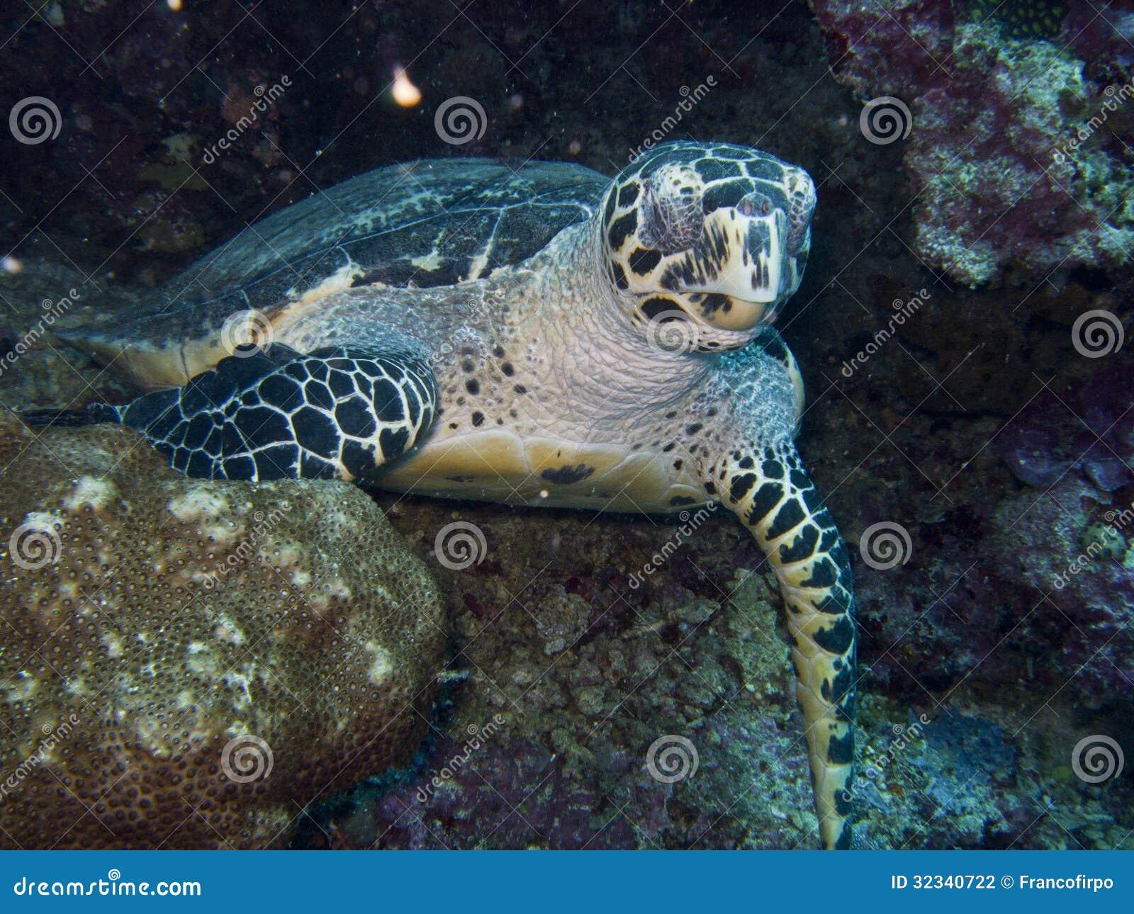 Lars krutak tatu lu tattoos from the dreamtime lars krutak -  4 Green Turtles Superfamily Chelonioidea Marine