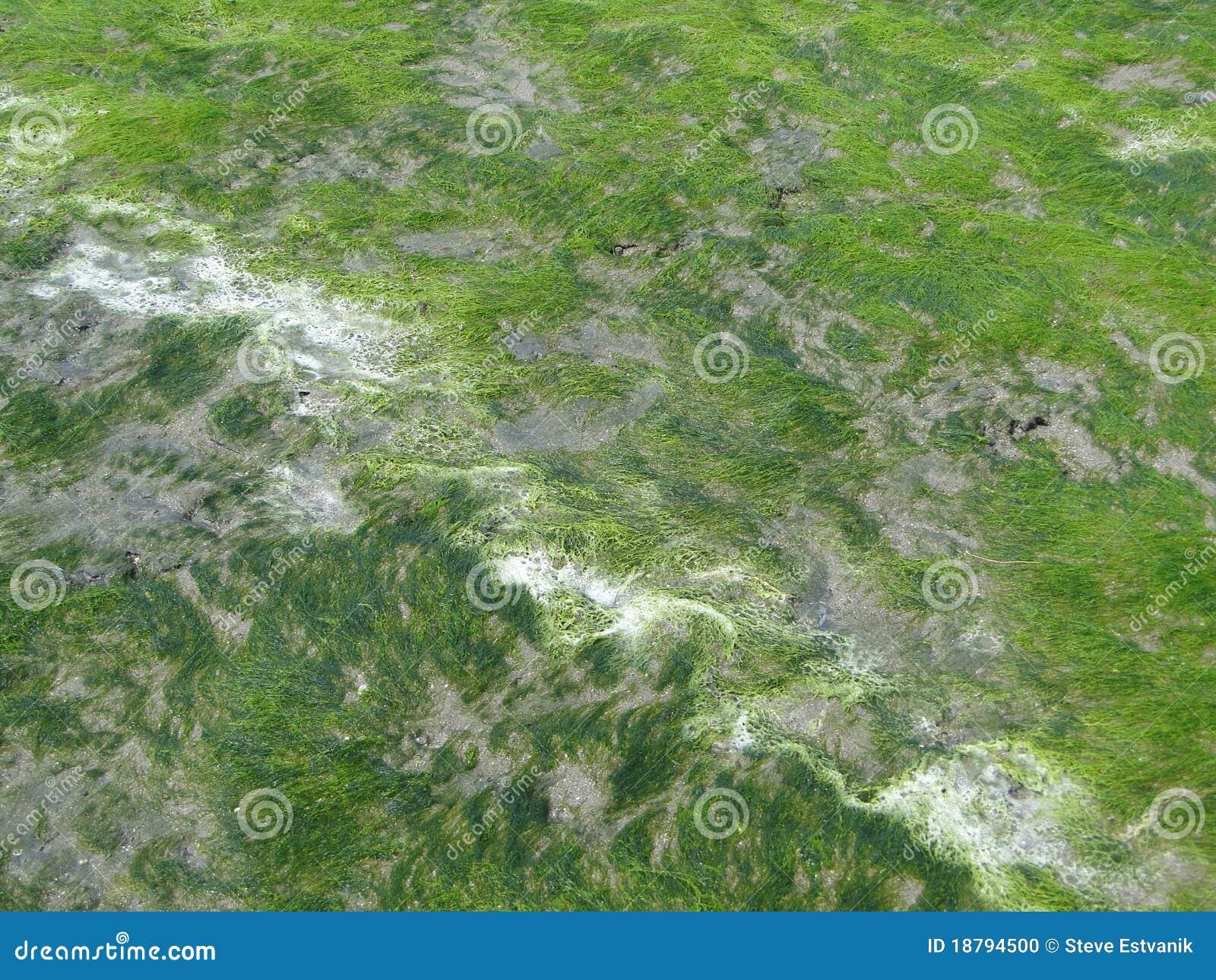 Seaweed келпа