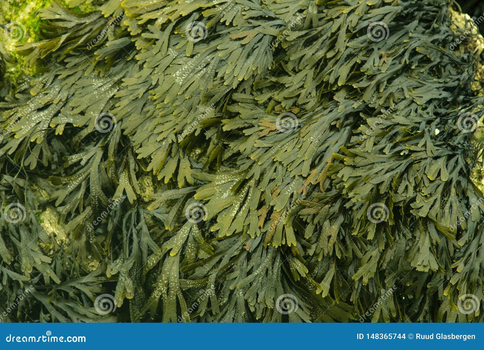 Seaweed, healthy food of the future