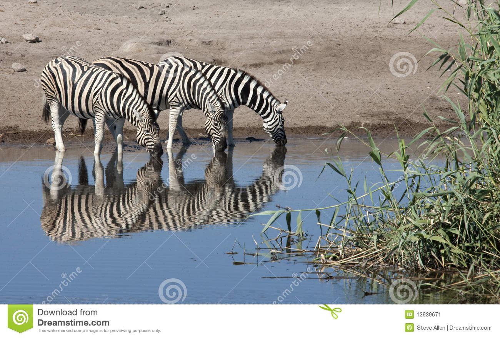 Sebra för equusnamibia quagga