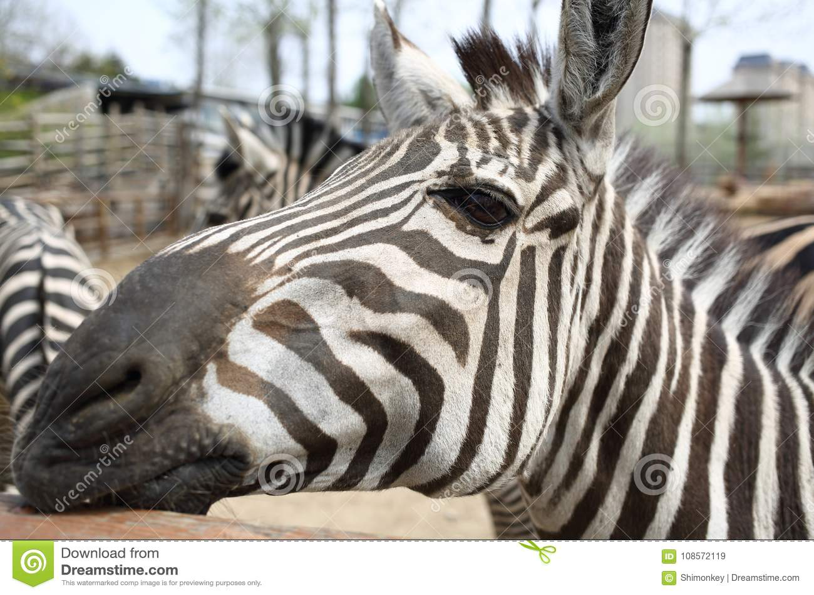 Sebra i zooen
