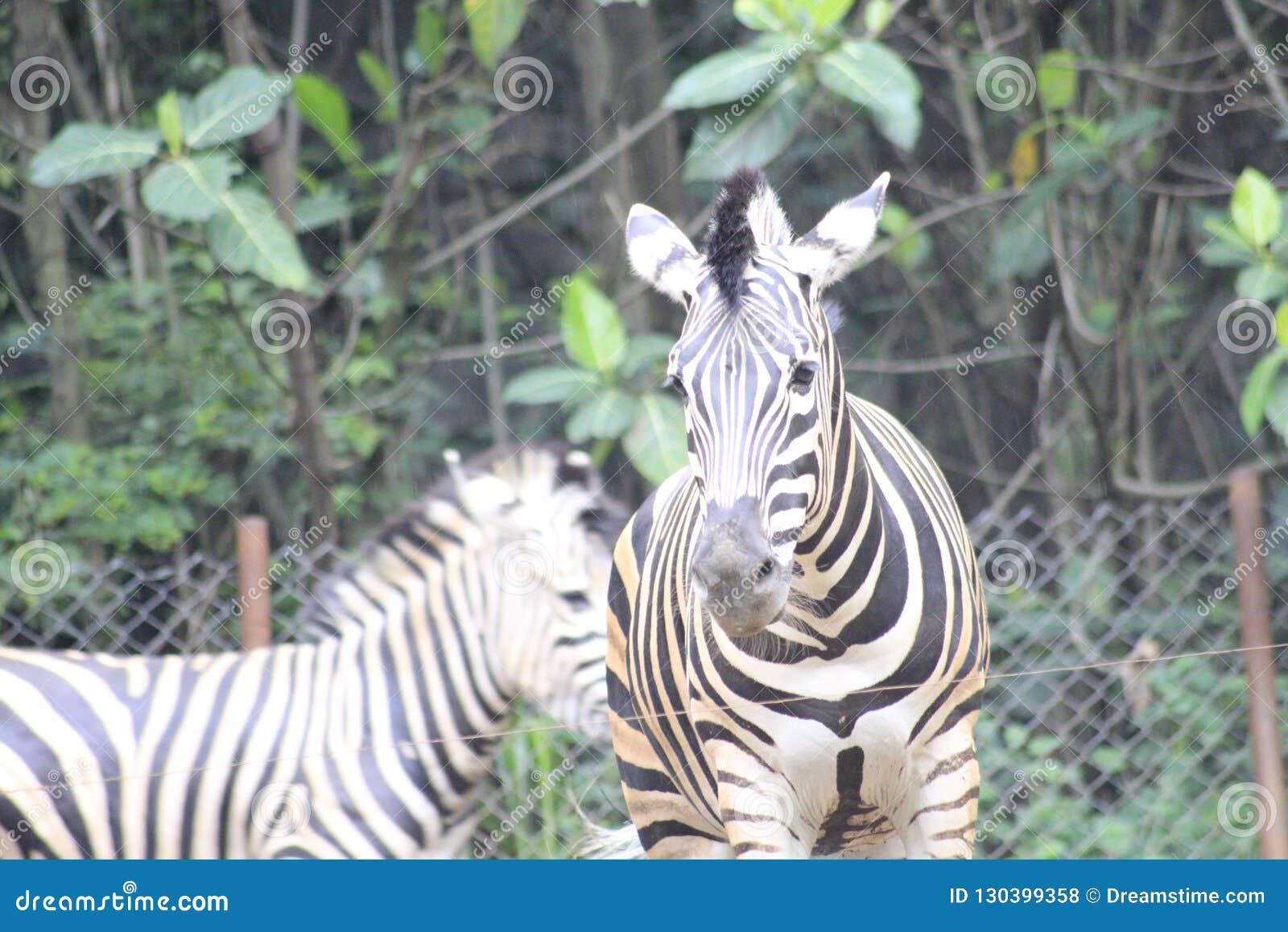 Sebra på zoo Bandung Indonesien