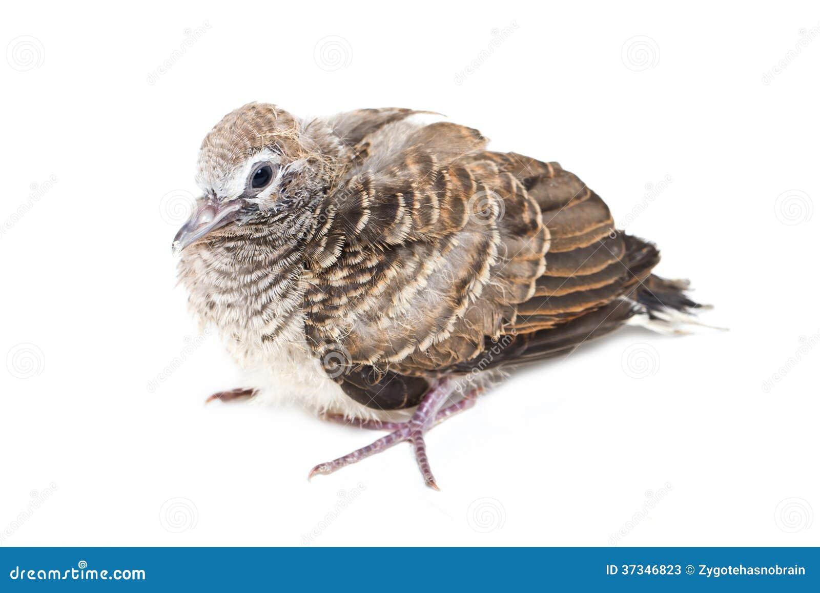 Sebraduvan behandla som ett barn fågeln.