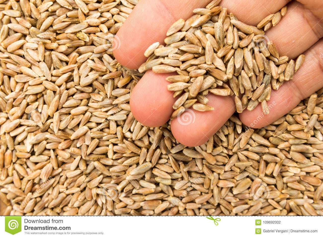 Rye Cereal Grain  Person With Grains In Hand  Macro  Whole