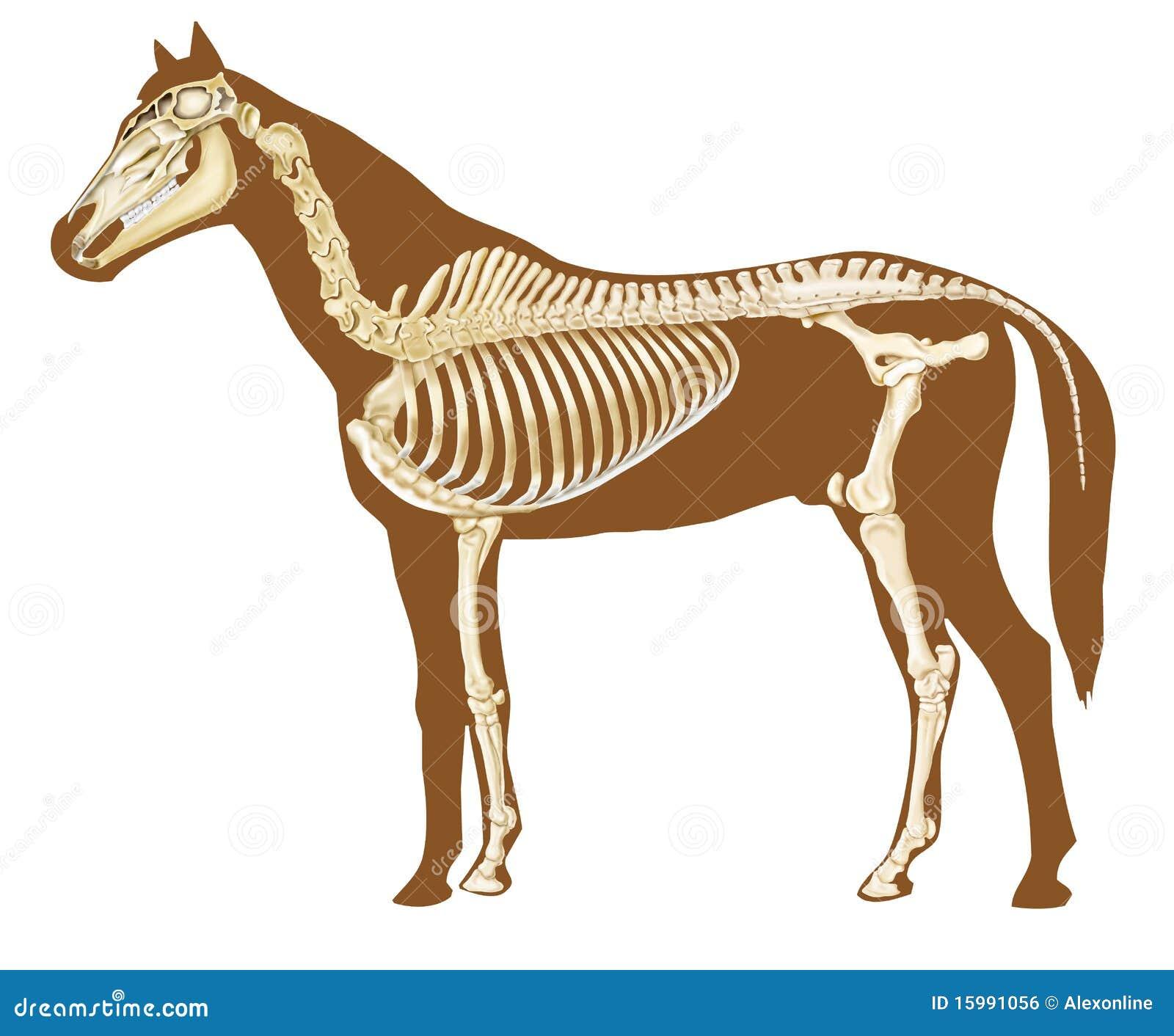 Sección Del Esqueleto Del Caballo Stock de ilustración - Ilustración ...