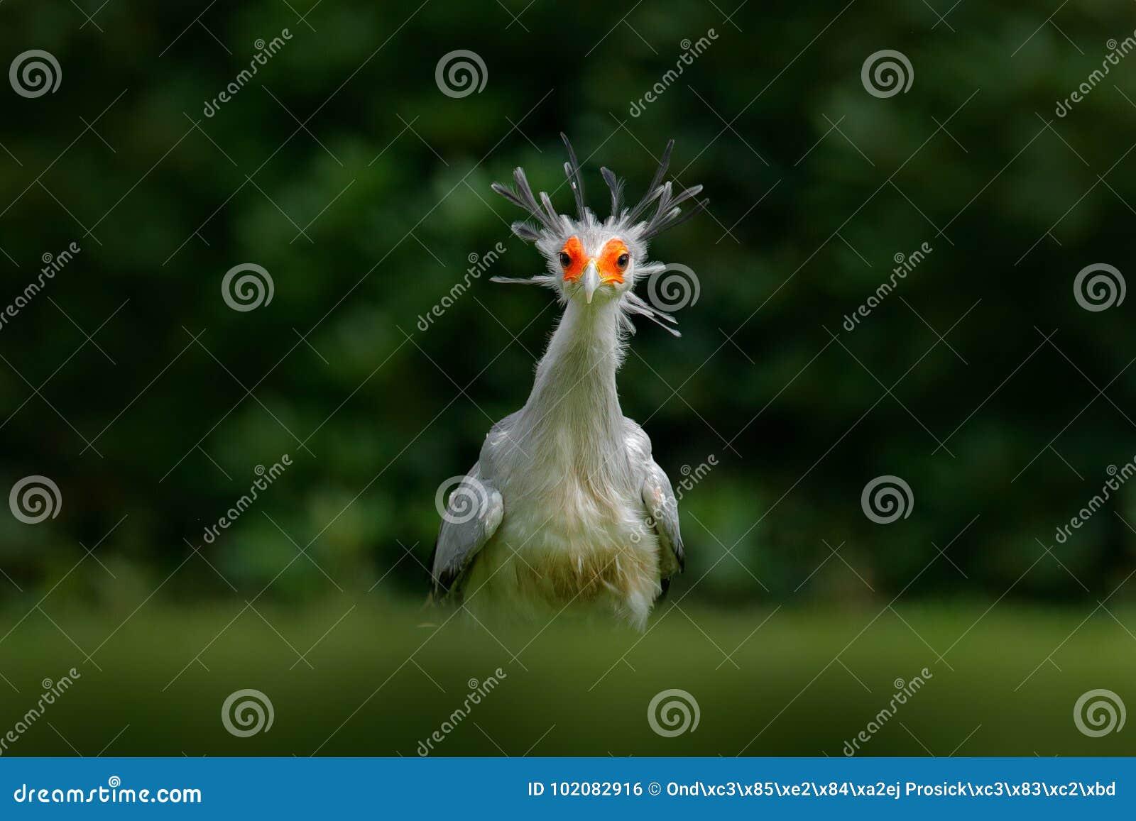 Secrétaire Bird, serpentarius de Sagittaire, portrait d oiseau de proie gris gentil avec le visage orange, Kenya, Afrique Scène d