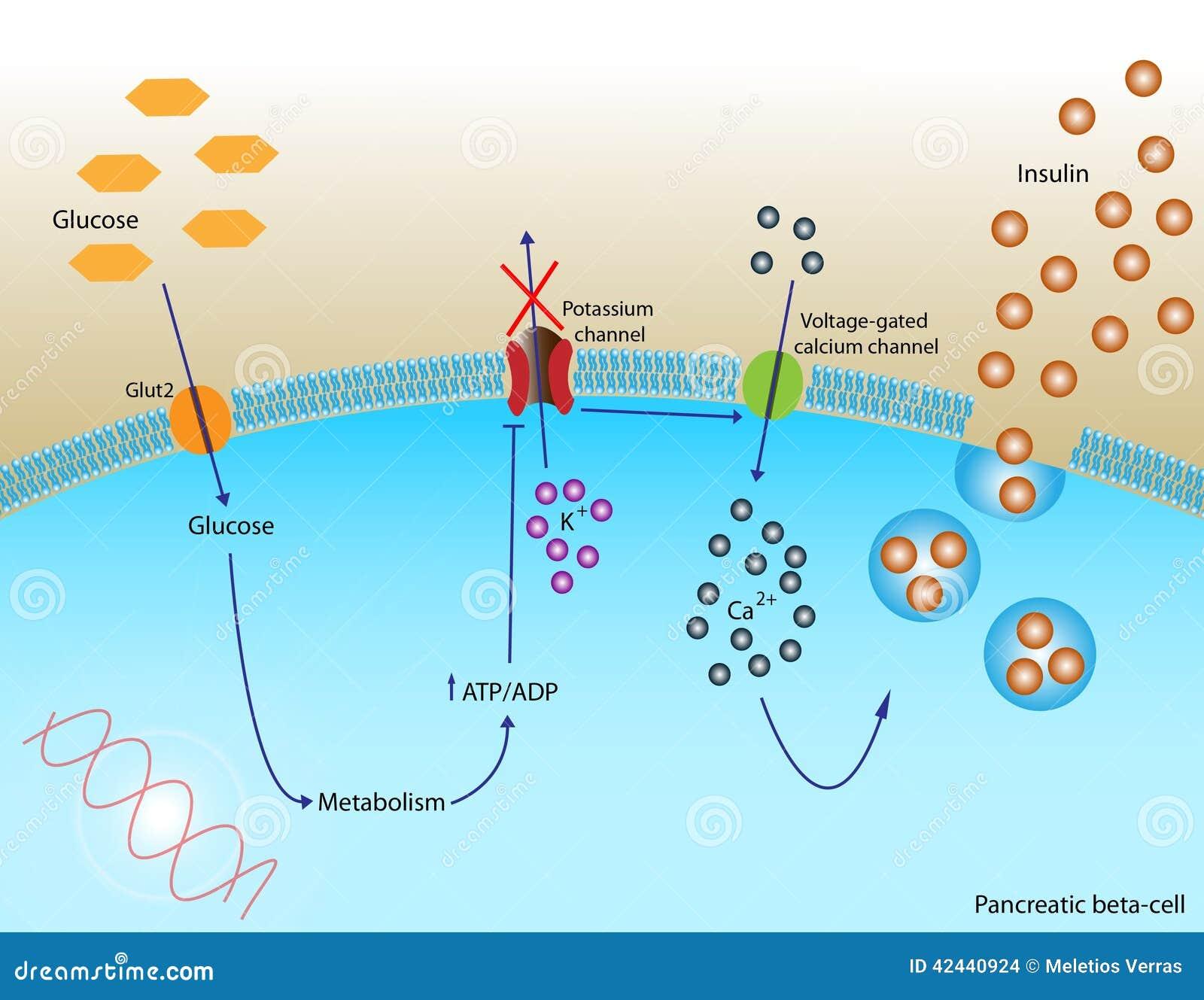 Secreción de la insulina