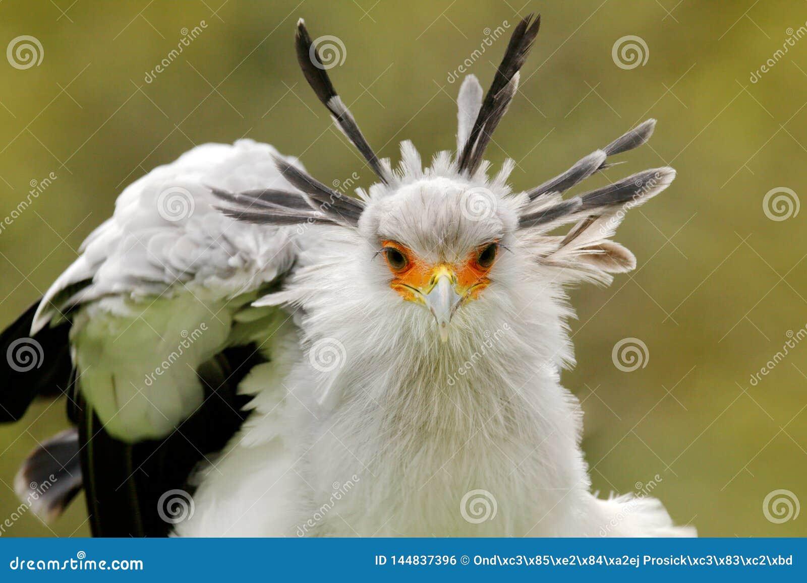 Secretaresse Bird, Boogschutterserpentarius, Portret van aardige grijze roofvogel met oranje gezicht, Kenia, Afrika Het wildsc?ne
