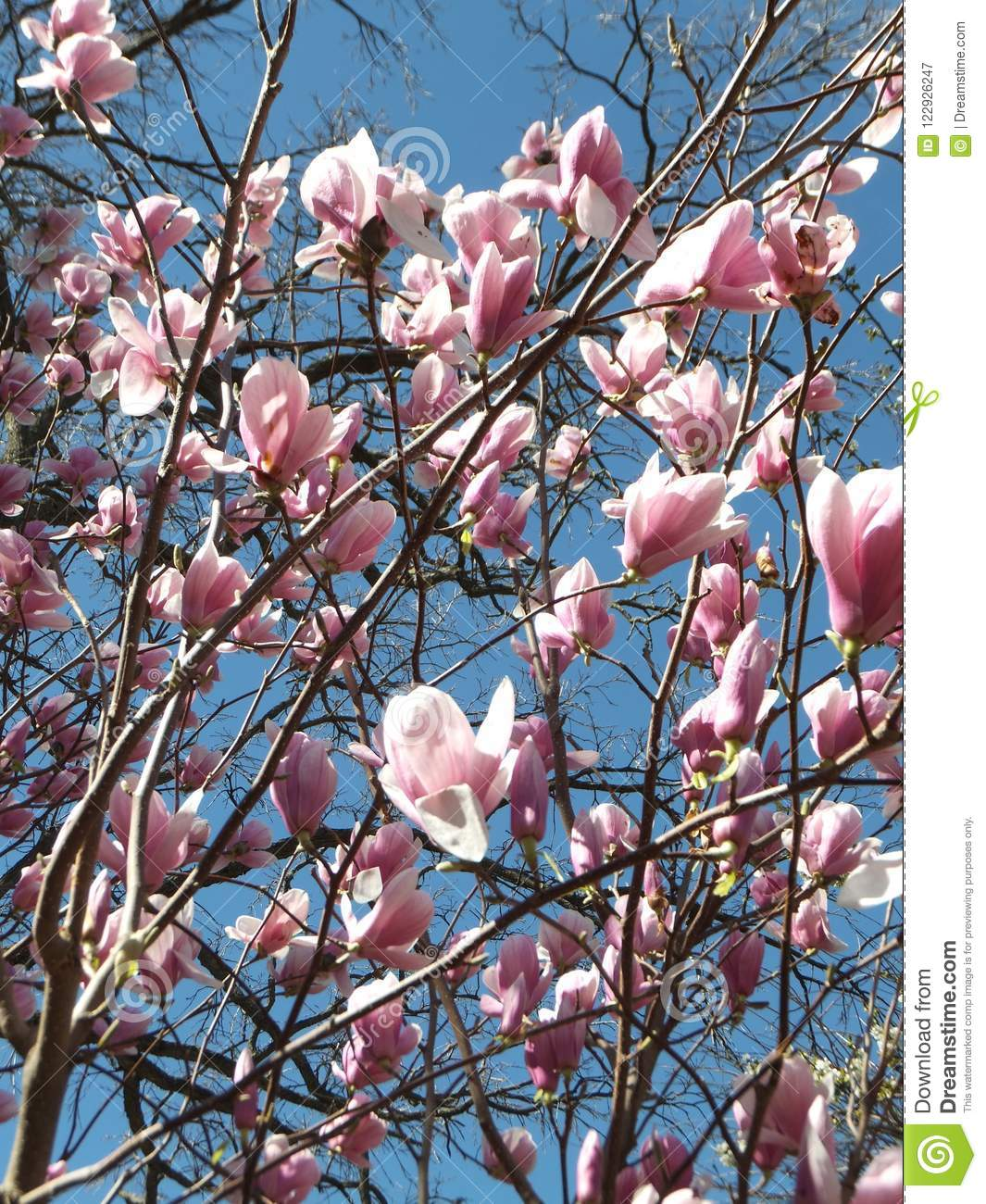 Section of a blossoming magnolia tree with sunlit light pink flowers section of a blossoming magnolia tree with light pink flowers sunlit on blue sky background mightylinksfo