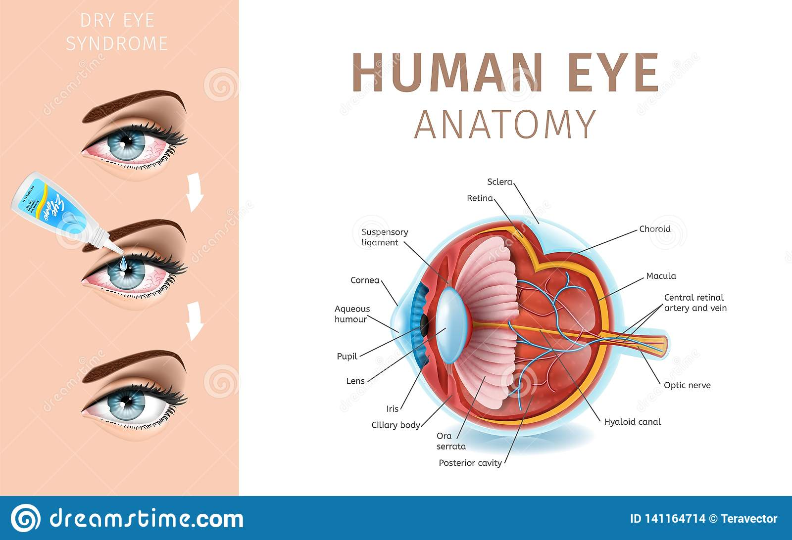 Section Of Eye Schematic Diagram. Dry Eye Syndrome Stock ... on cross section of the eye, flowchart of the eye, schematic eye retinoscopy, sagittal section of the eye, schematic section of the human eye, cutaway view of the eye, midsagittal section of the eye, transverse section of the eye, cross section diagram of eye,