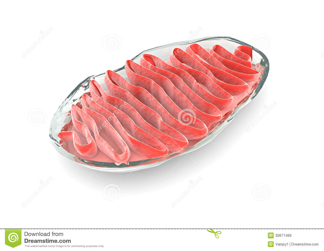 Section Mitochondria, Cell Royalty Free Stock Image - Image: 30671466