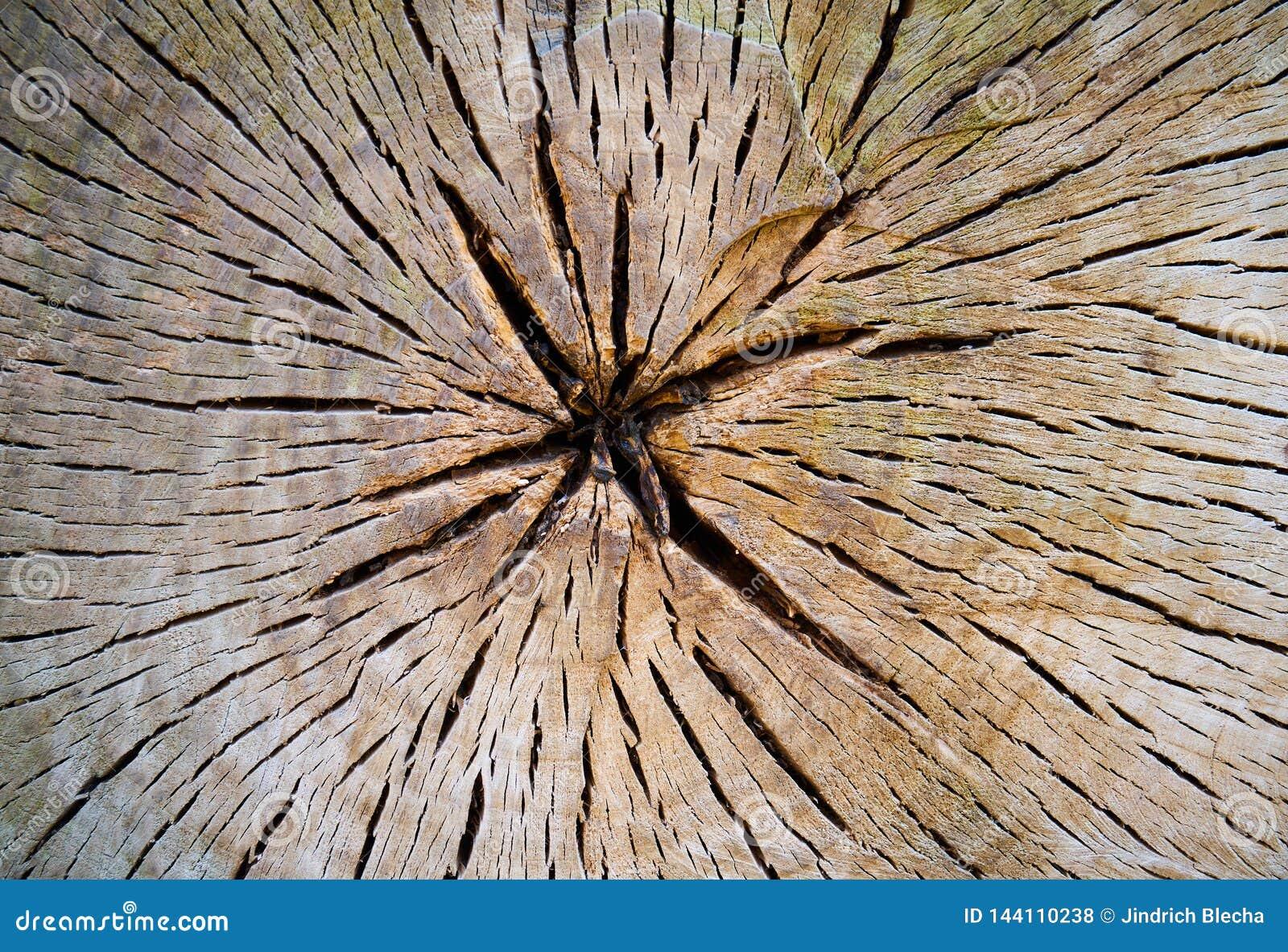 Section transversale de tronc d arbre