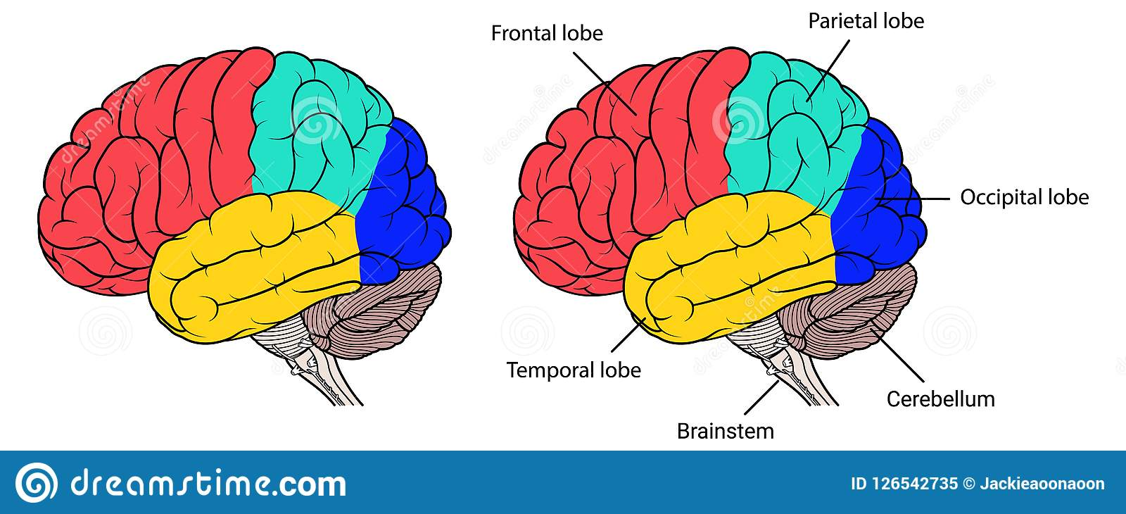 Sections Of Human Brain Anatomy Side View Flat Stock ...