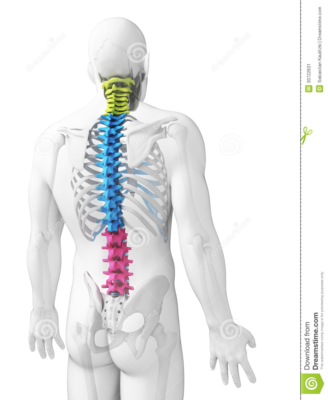Sections Of The Spine Stock Image - Image: 30722631