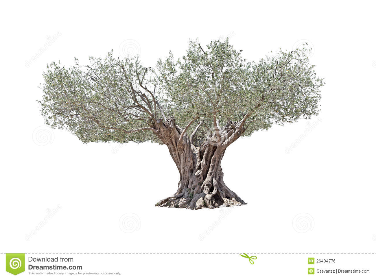 secular olive tree isolated on white background stock photo image of lonely background 26404776. Black Bedroom Furniture Sets. Home Design Ideas
