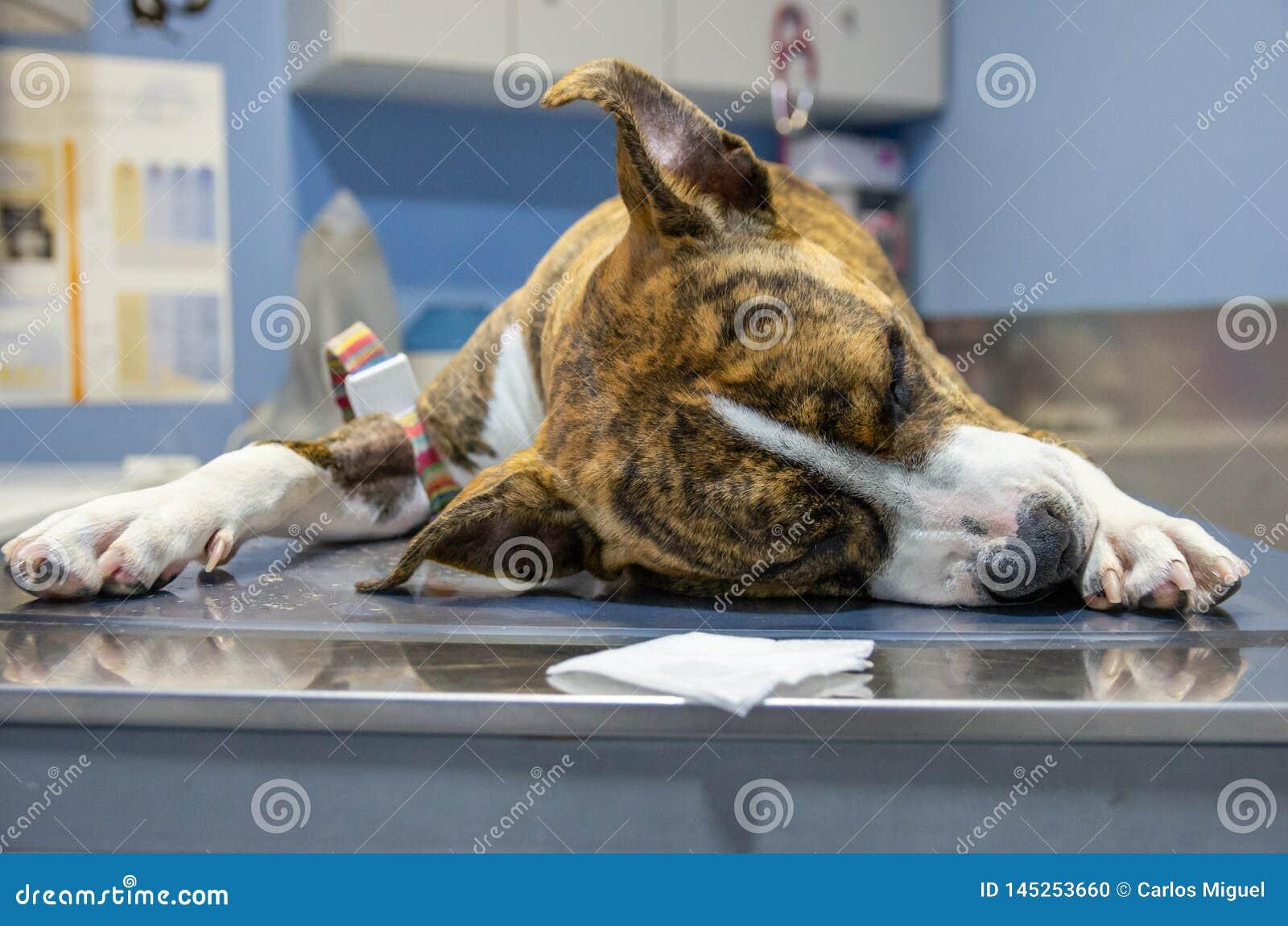 Sedated pies na eksploracja stole