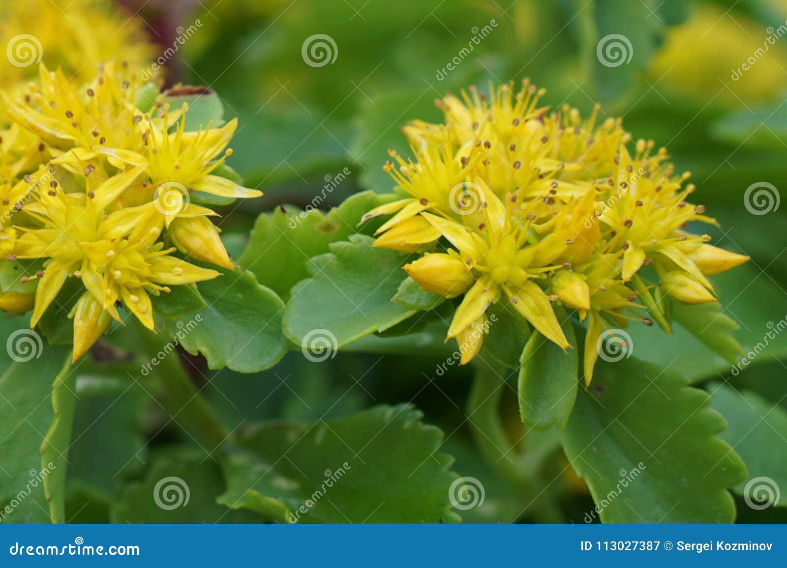 Sedum amarillo de las flores de las flores de la primavera