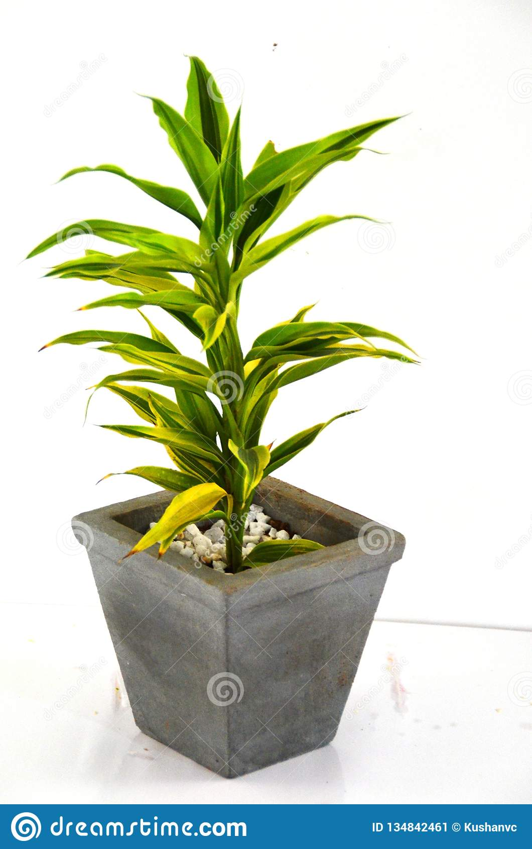 Lucky - Bamboo Plant - Indoor Plant Stock Image - Image of
