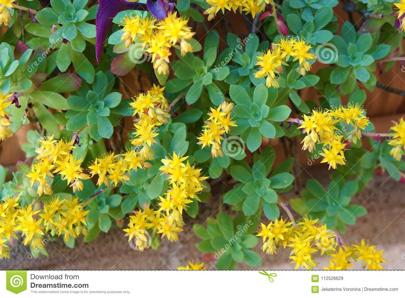 Plant With Yellow Flowersstonecropsedum Palmeri Stock Image