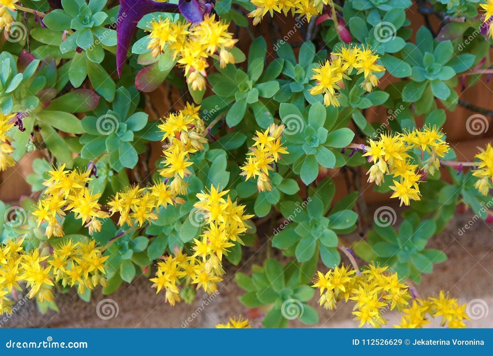 Plant with yellow flowersstonecropsedum palmeri stock image plant with yellow flowersstonecropsedum palmeri mightylinksfo