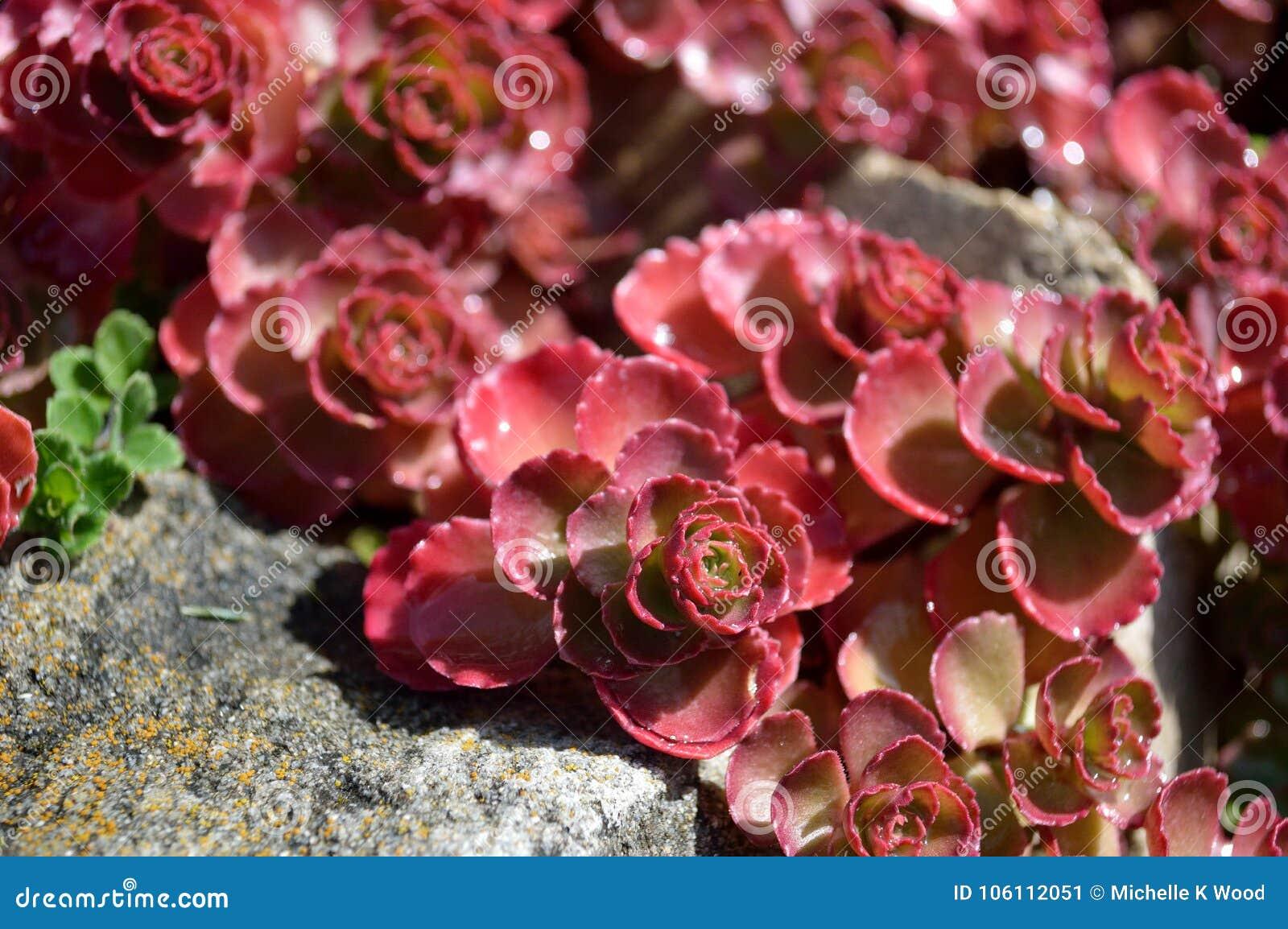 Sedum red carpet Sedum spurium