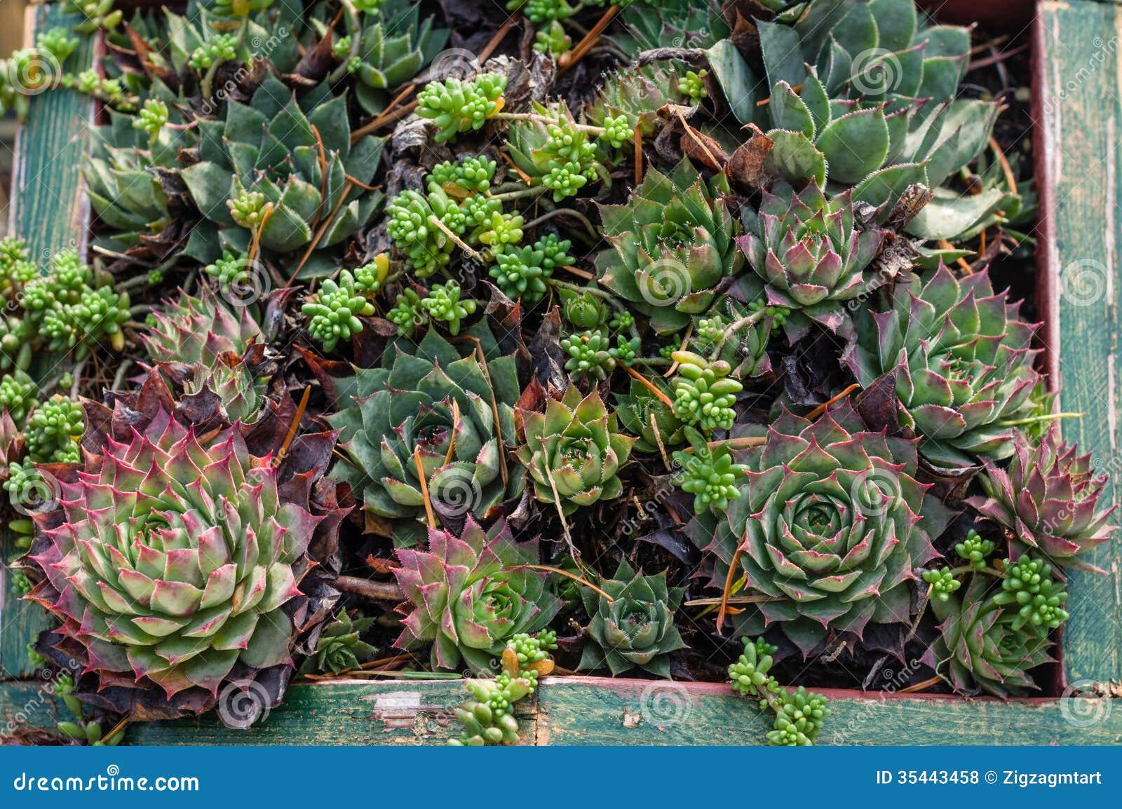 Sedum Or Sempervivum Plants For Dry Planting Stock Photo