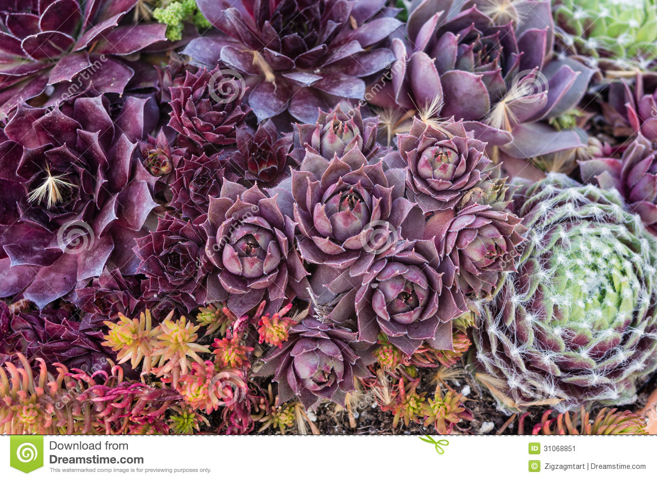 Sedum Or Sempervivum Plants For Use With Sustainable Green