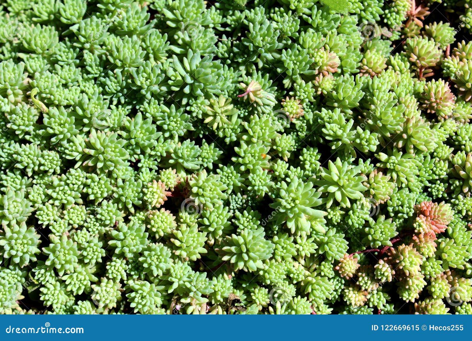 Sedum Or Stonecrop Hardy Succulent Ground Cover Perennial Green