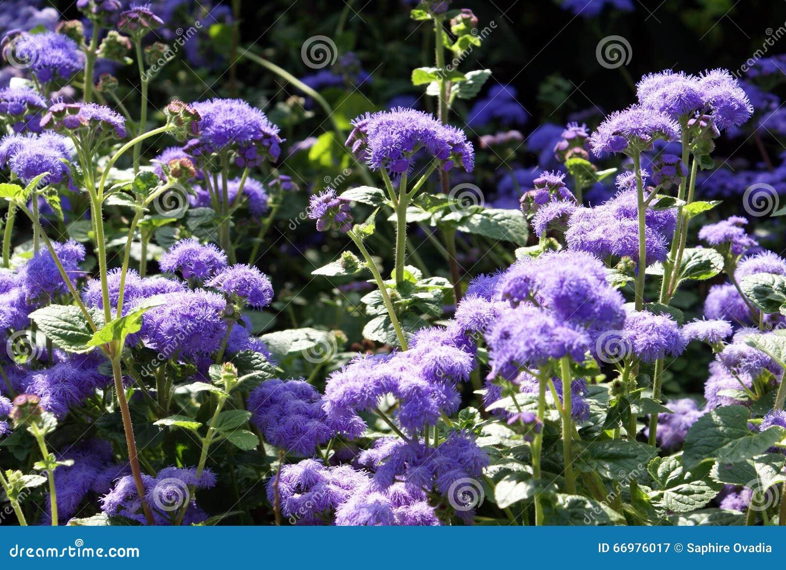 Sedum stonecrops stock image image of blue purple 66976017 royalty free stock photo altavistaventures Images