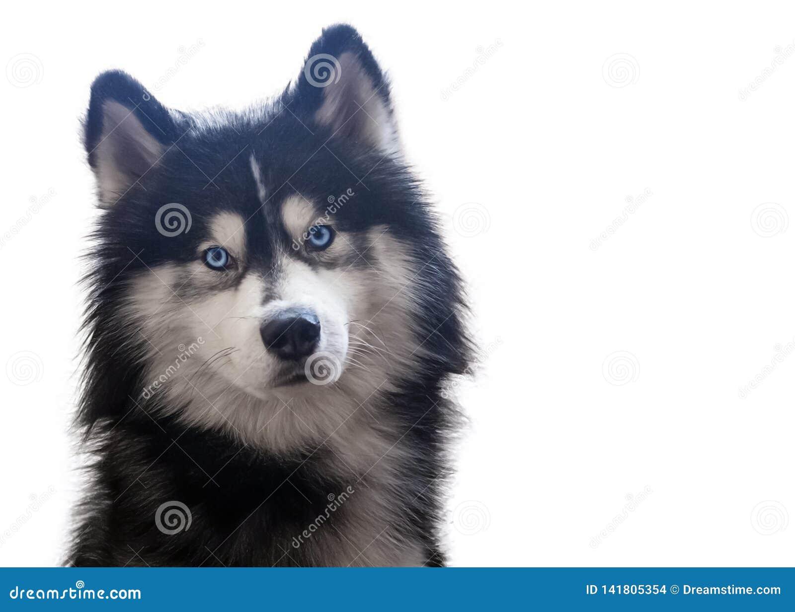 Seduta adorabile e sguardi del husky siberiano alla macchina fotografica con i suoi occhi azzurri luminosi Isolato