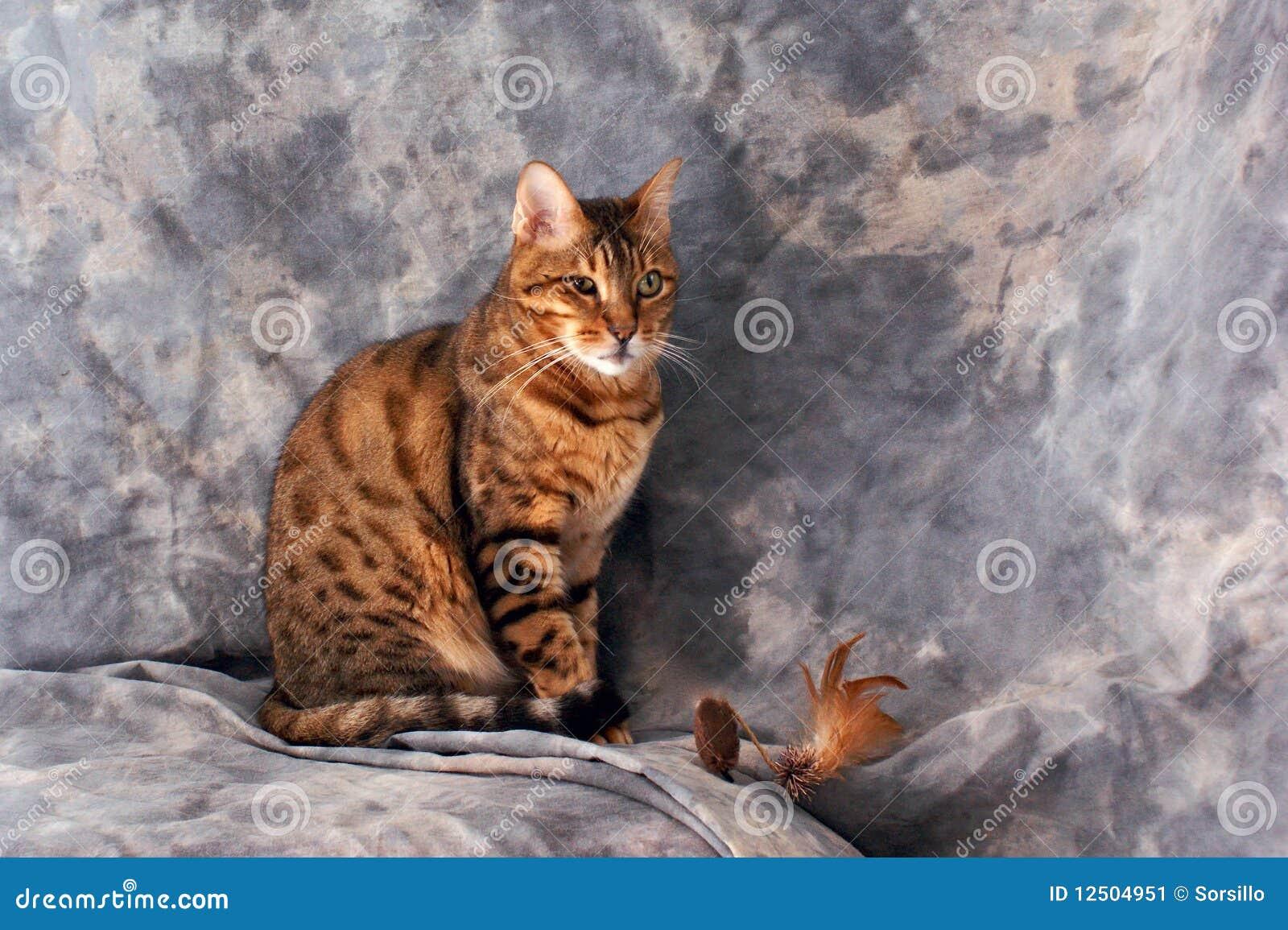 Seduta del gatto del bengala immagine stock immagine - Immagine del gatto a colori ...