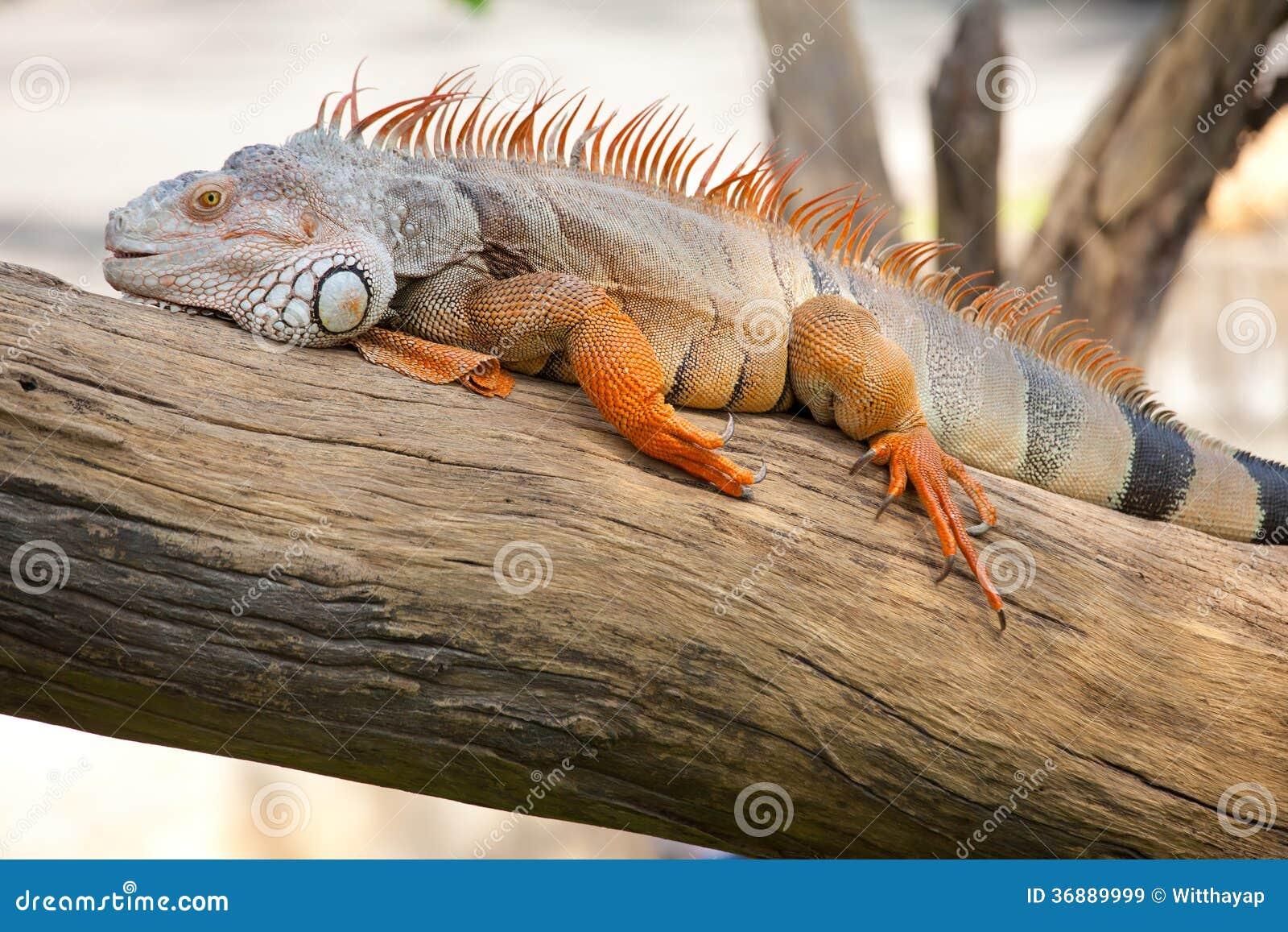 Download Seduta Del Rettile Dell'iguana Immagine Stock - Immagine di svago, caduta: 36889999