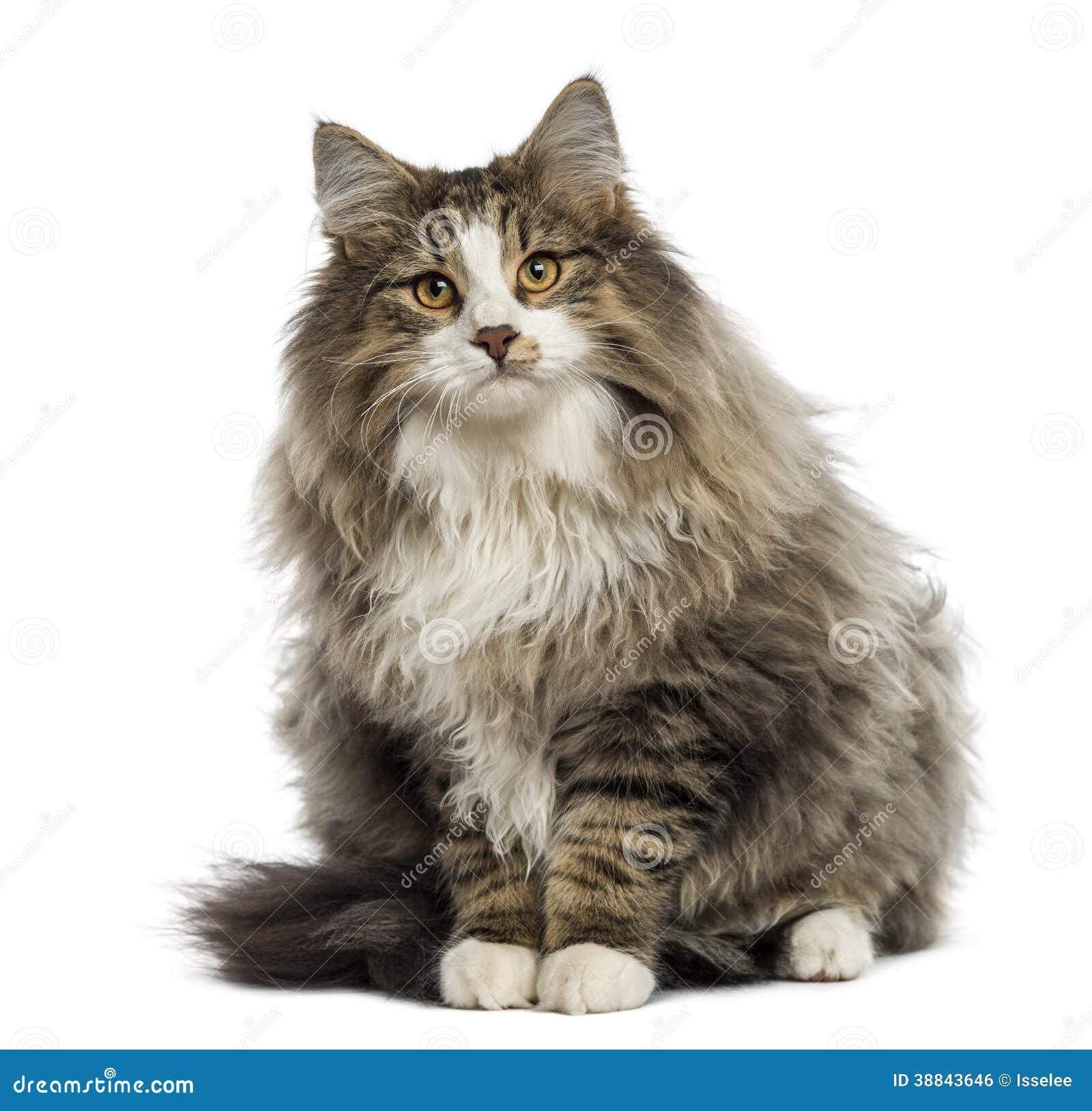 Seduta norvegese del gatto della foresta fotografia stock for Gatto della foresta norvegese