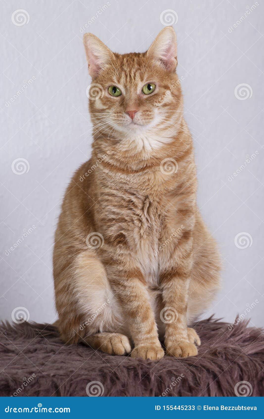 Seduta rossa domestica del gatto r