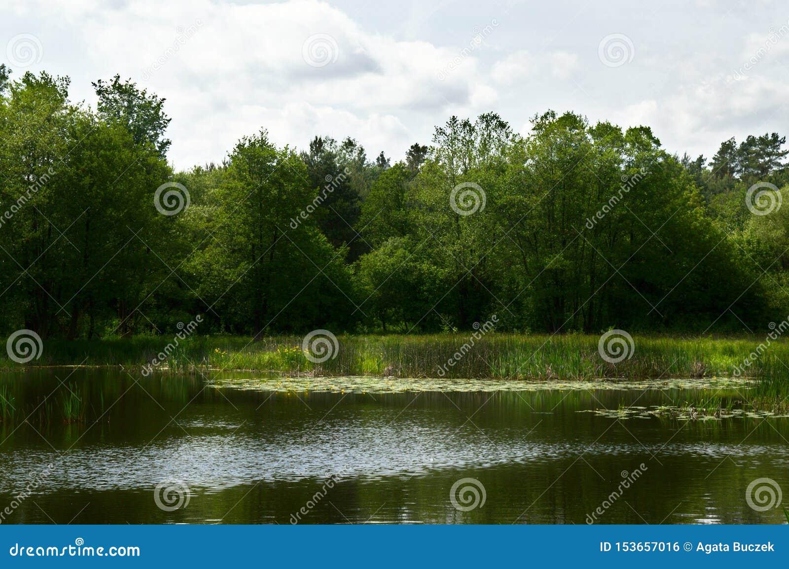 See mit nenuphars und Schilfen in einem Wald, Polen, Europa