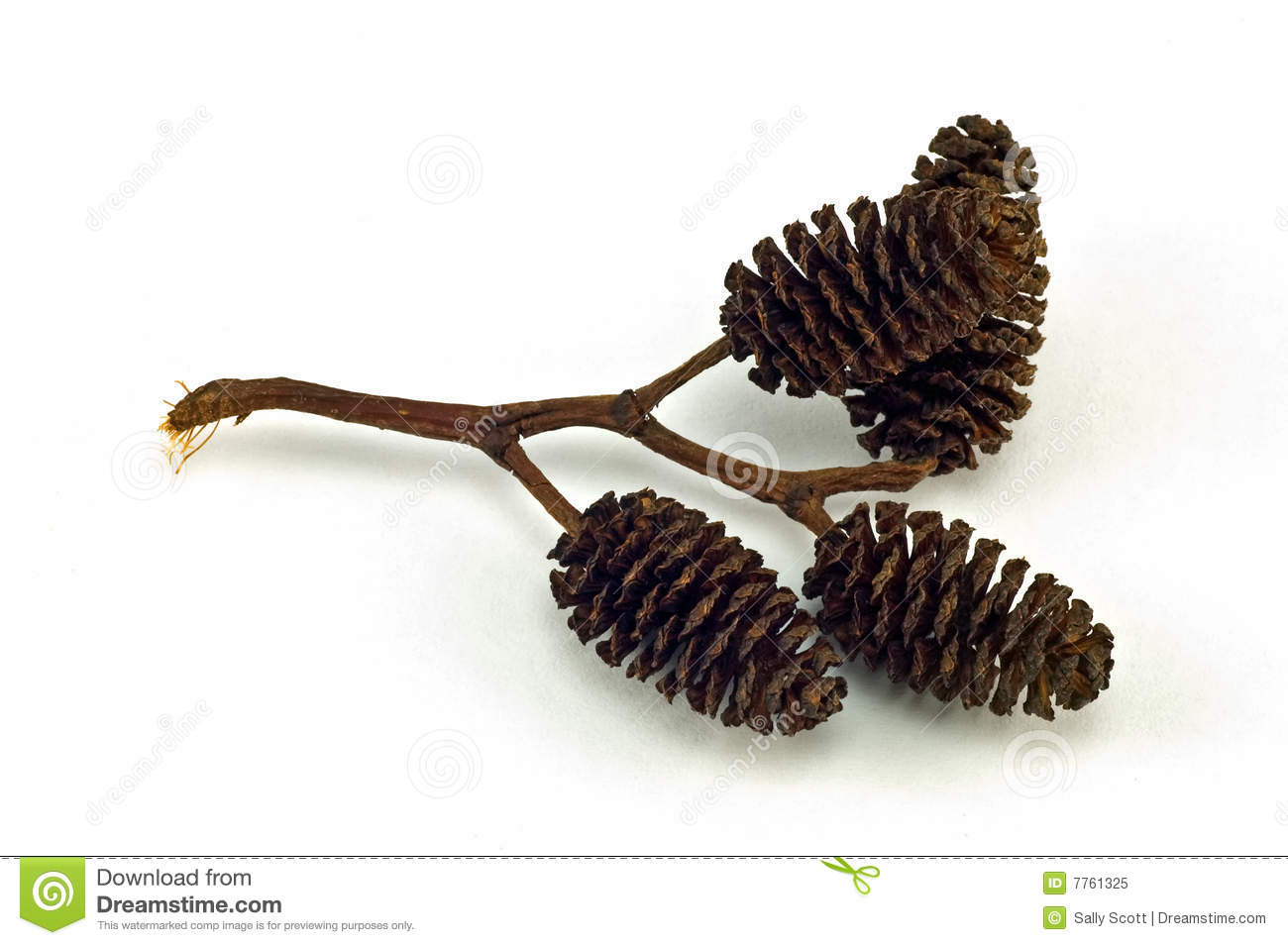 Seed Catkin Royalty Free Stock Photo - Image: 7761325