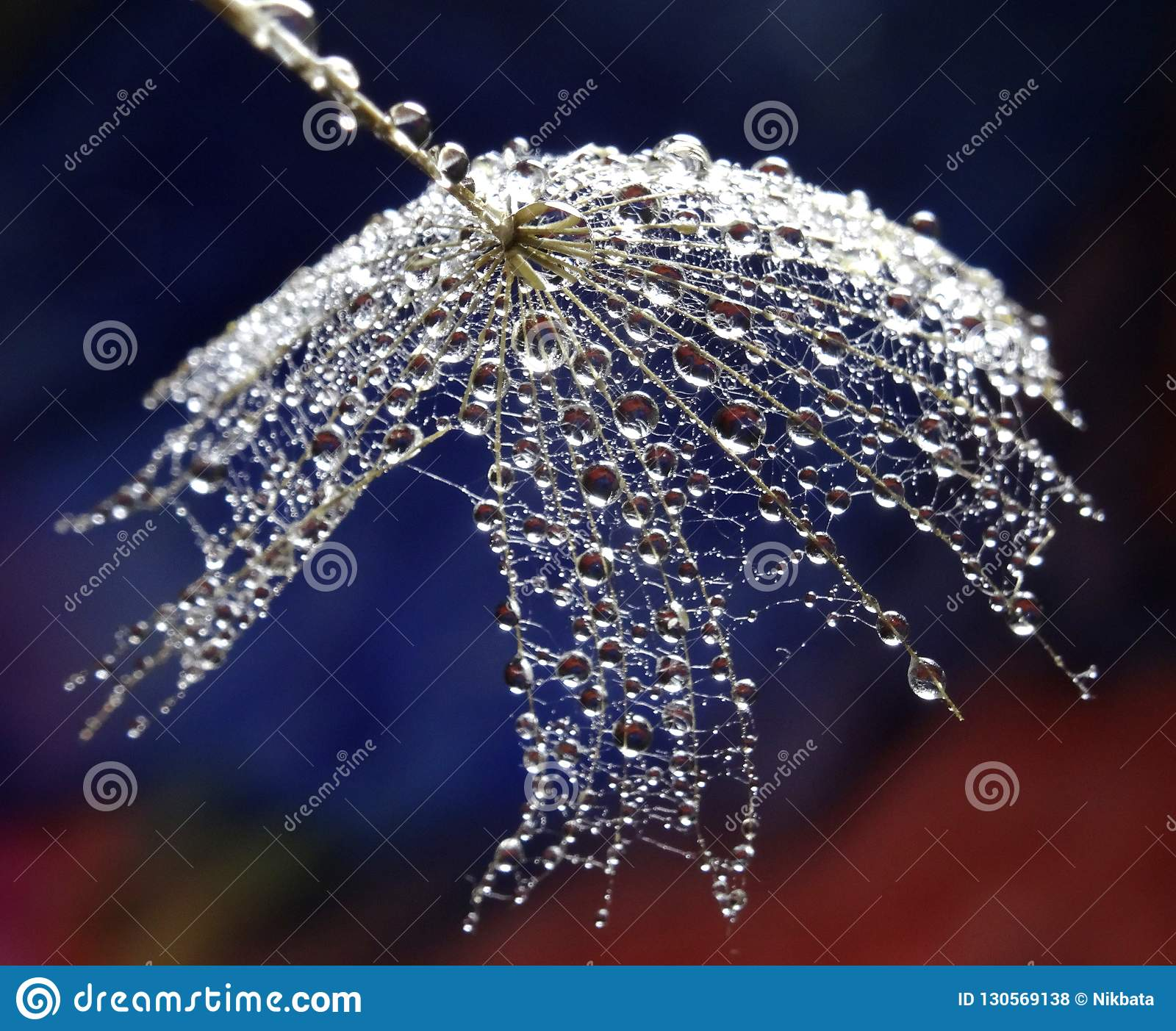 Seed of dandelion with water drops - isolated on a multicolor background