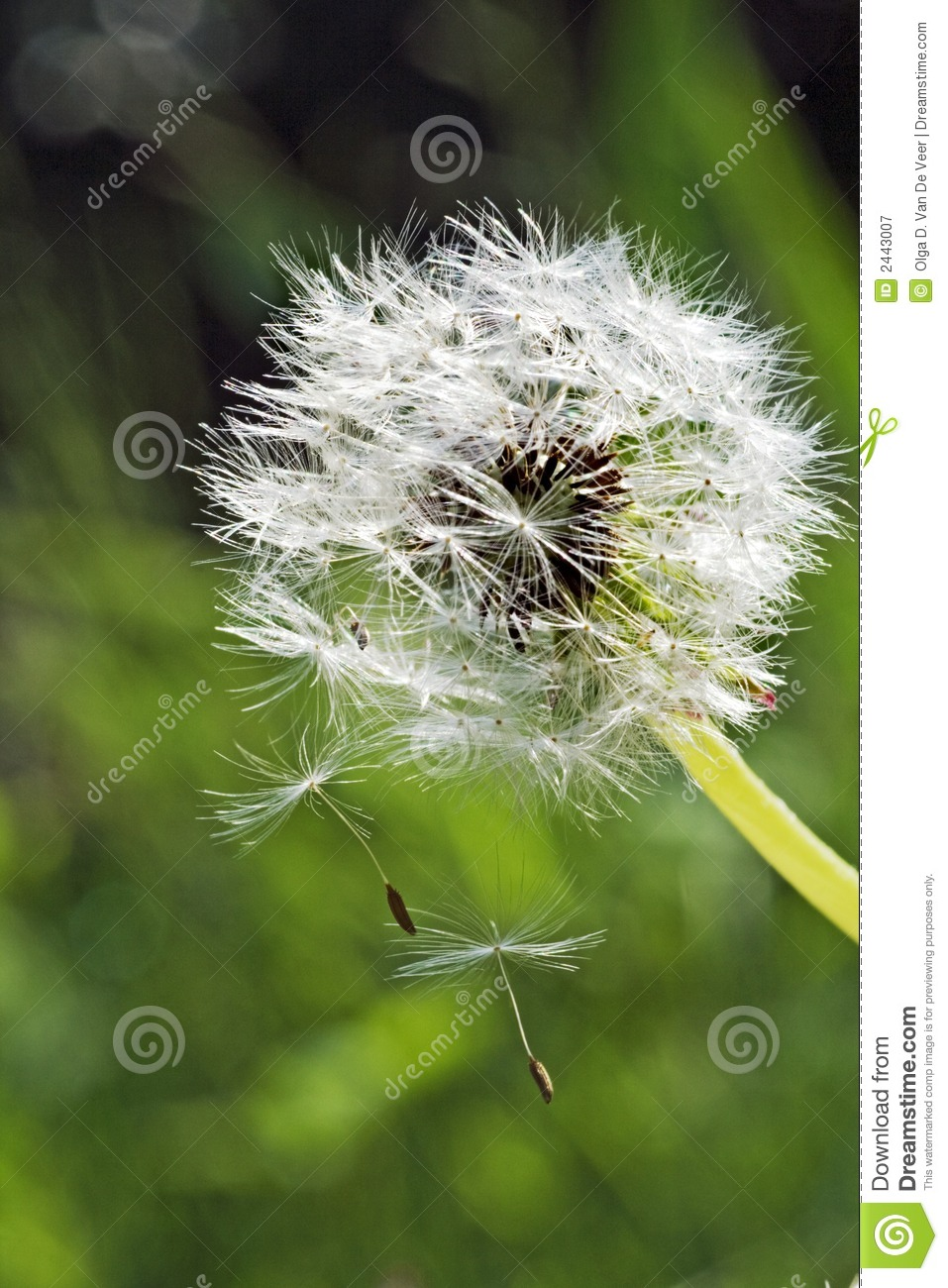 seed dispersal from dandelion royalty free stock